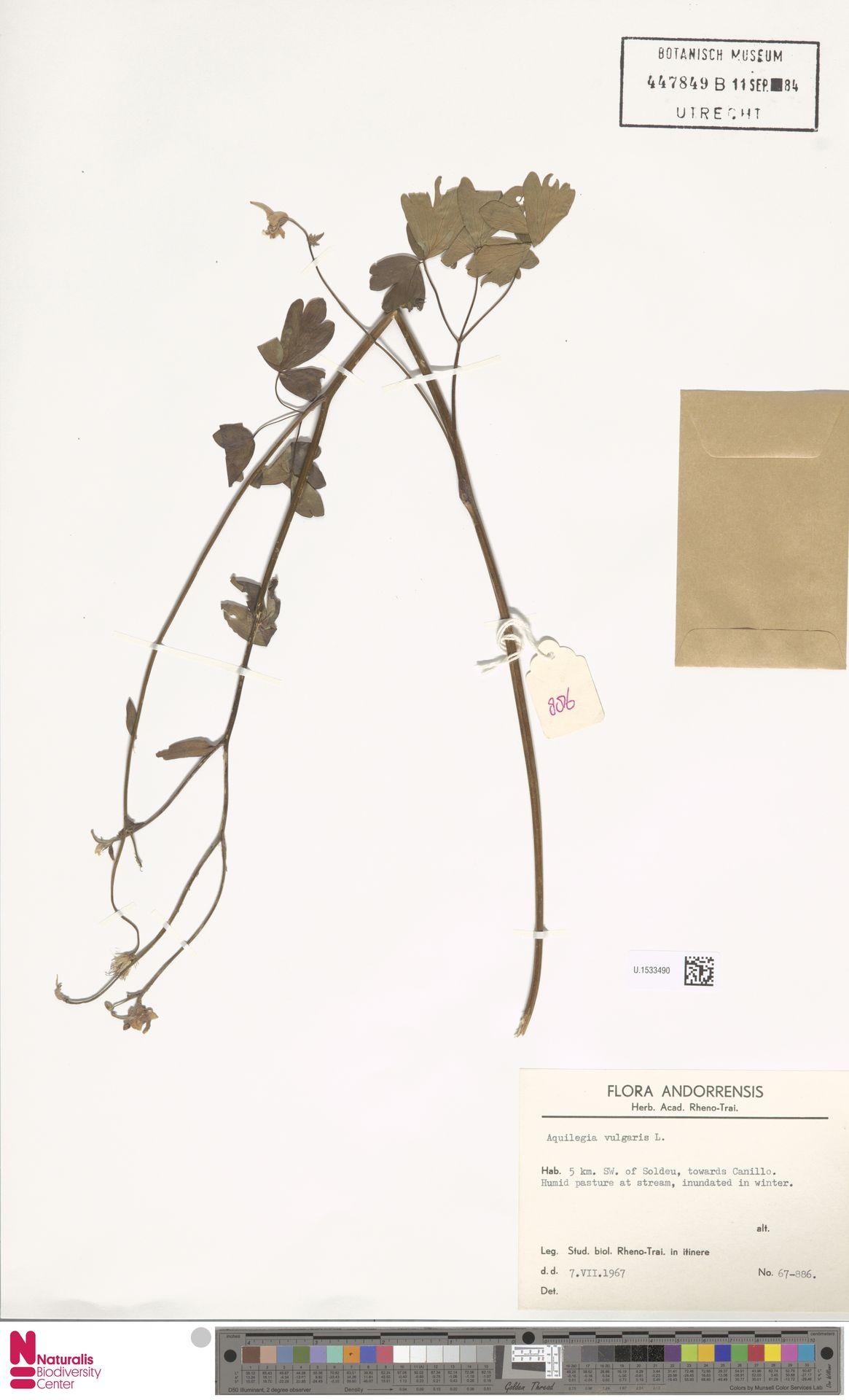 U.1533490   Aquilegia vulgaris L.