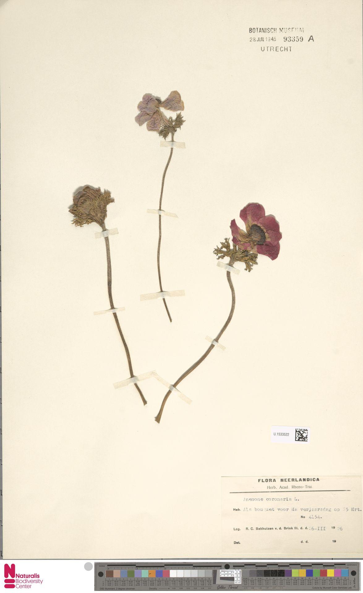 U.1533522 | Anemone coronaria L.