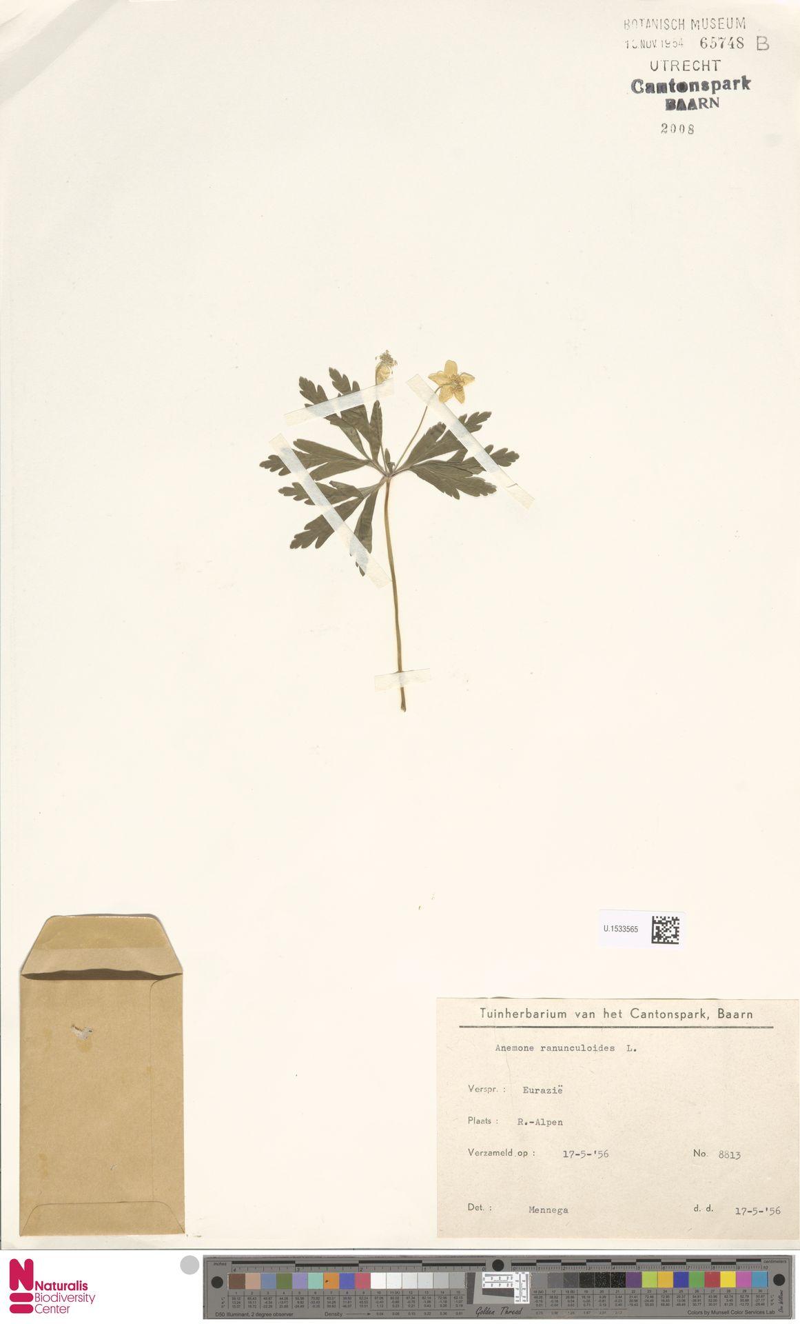 U.1533565 | Anemone ranunculoides L.