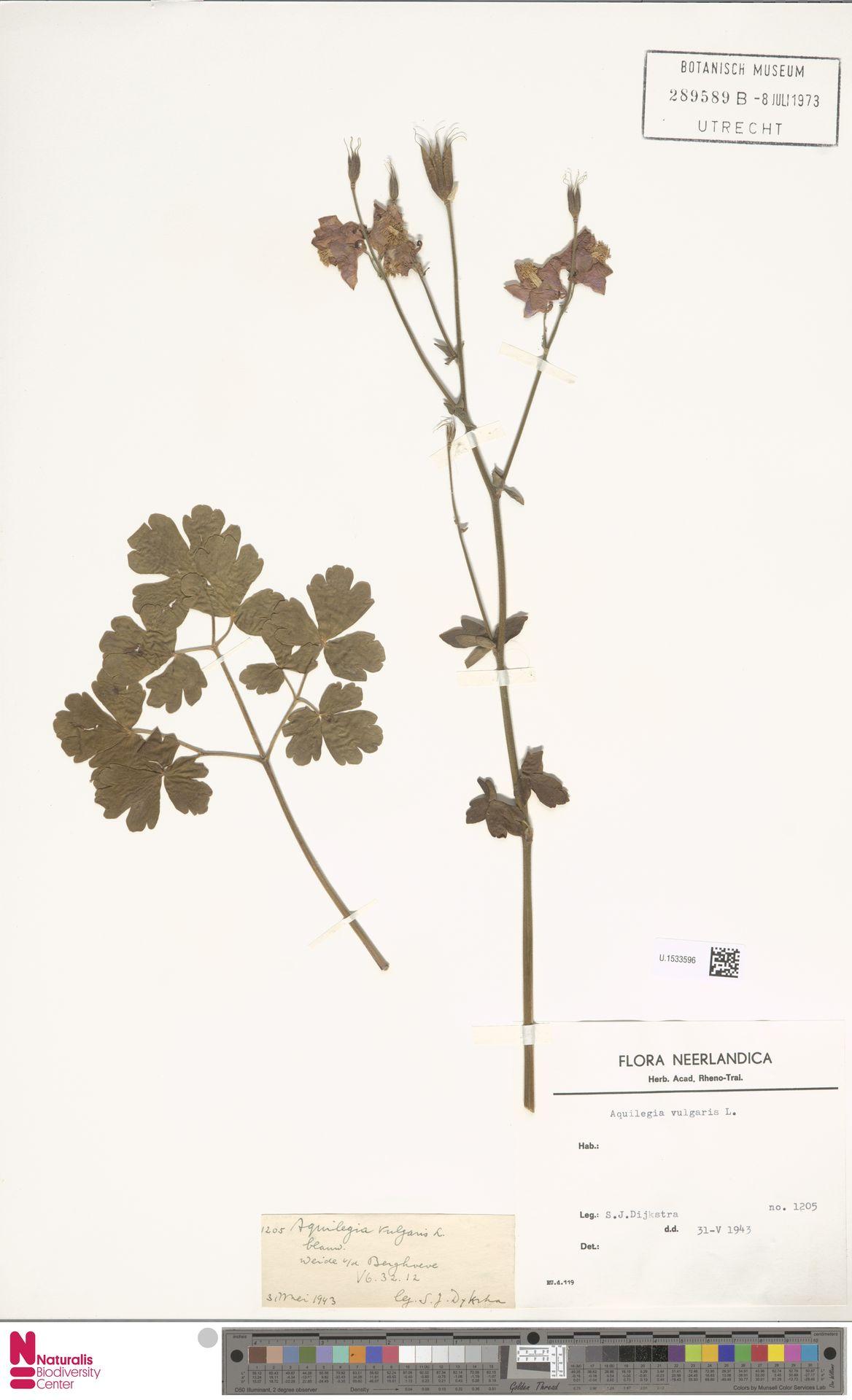 U.1533596 | Aquilegia vulgaris L.