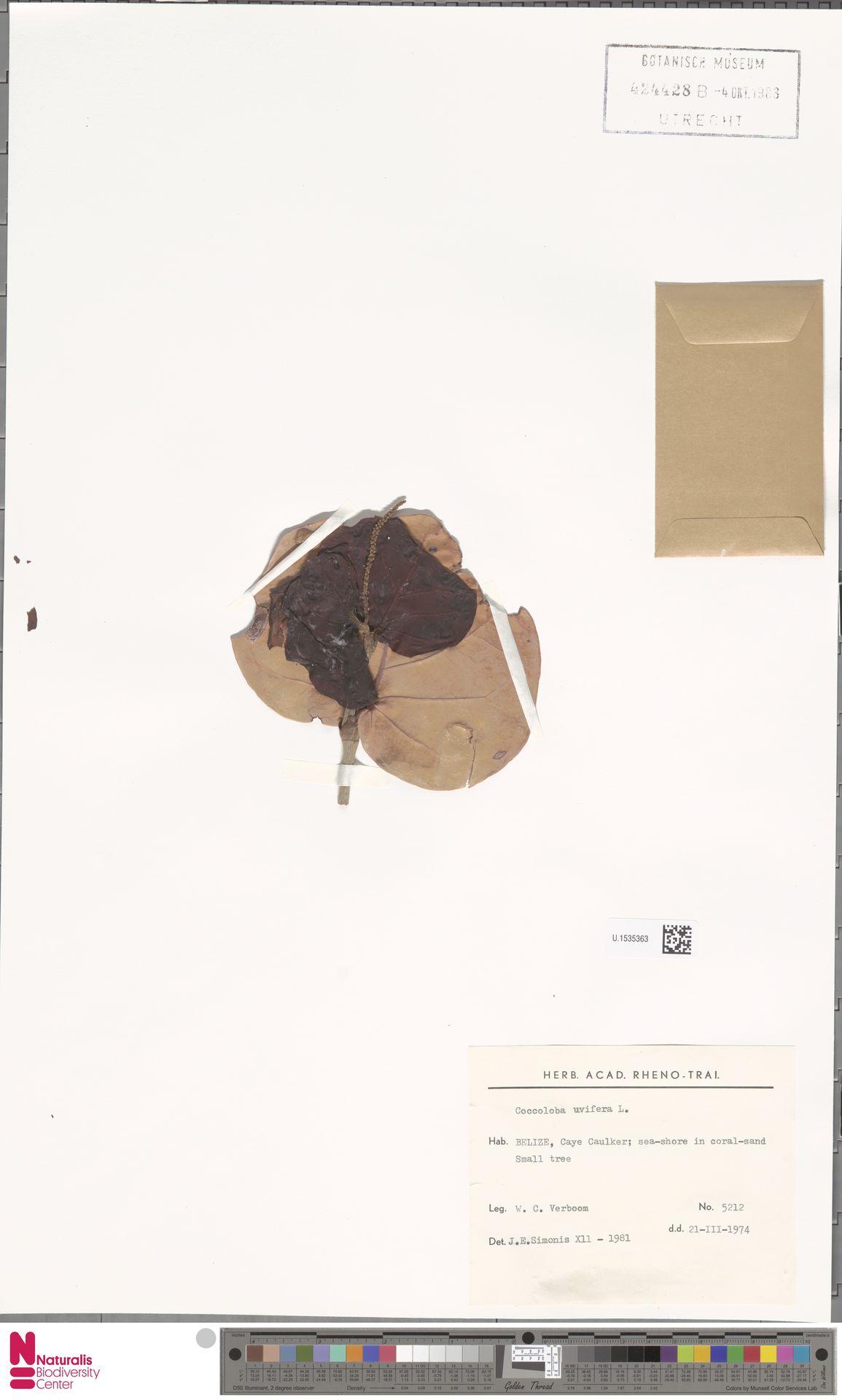 U.1535363   Coccoloba uvifera (L.) L.