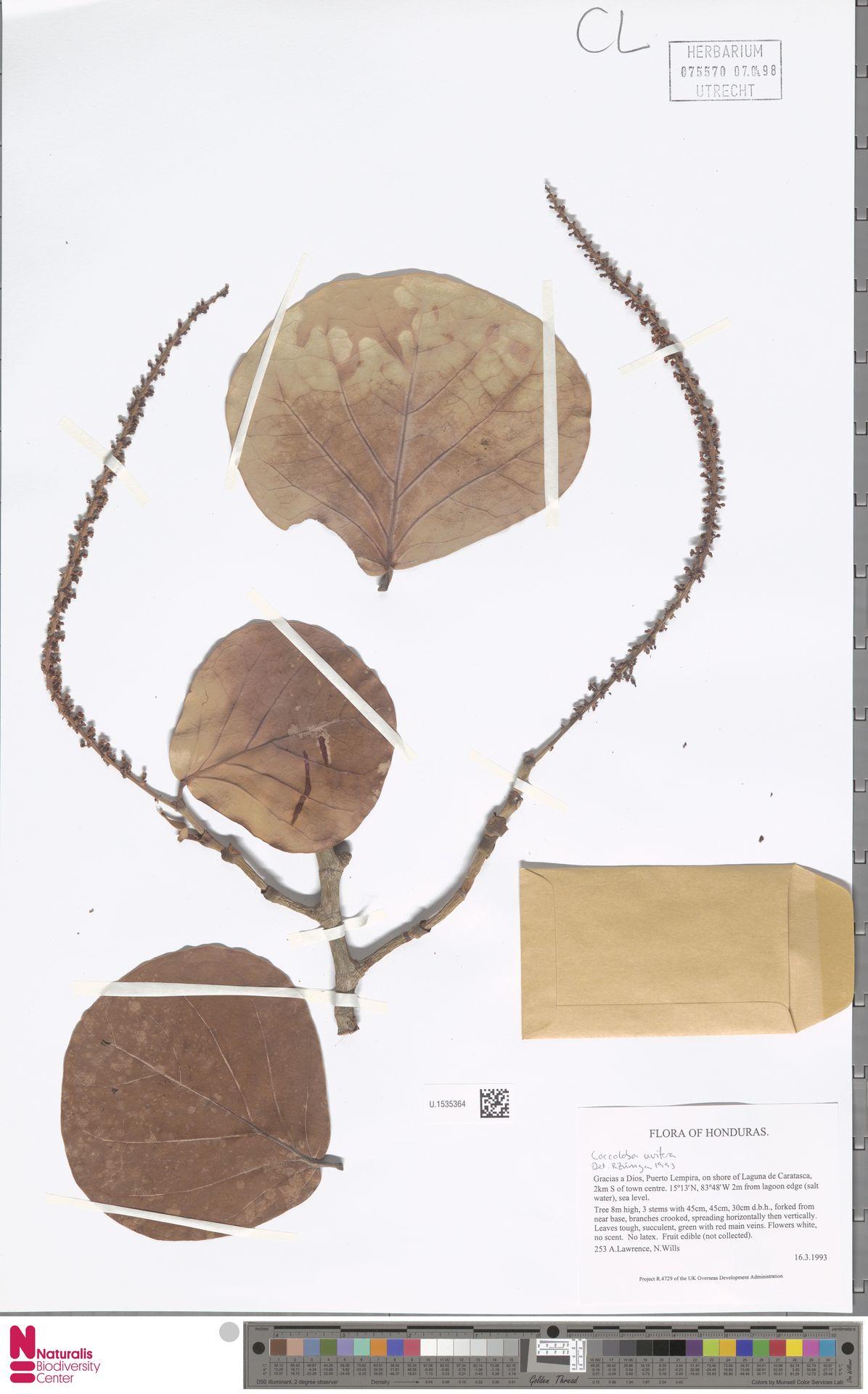 U.1535364 | Coccoloba uvifera (L.) L.