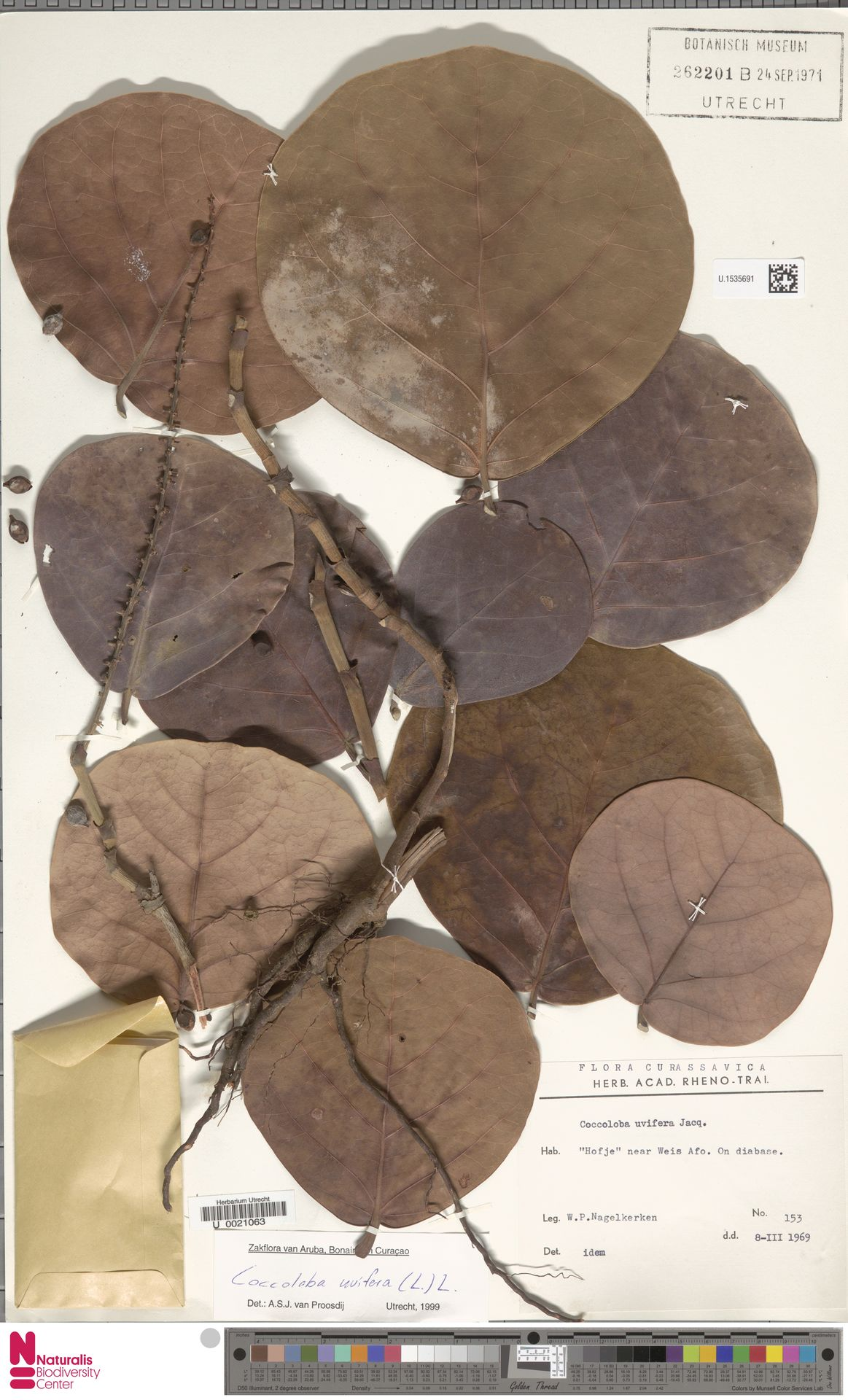 U.1535691 | Coccoloba uvifera (L.) L.