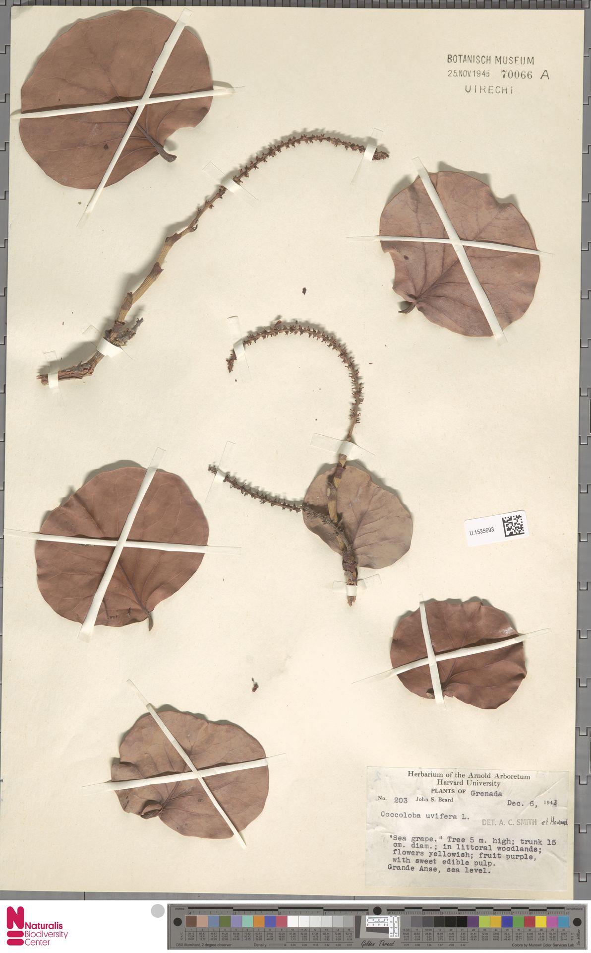 U.1535693 | Coccoloba uvifera (L.) L.