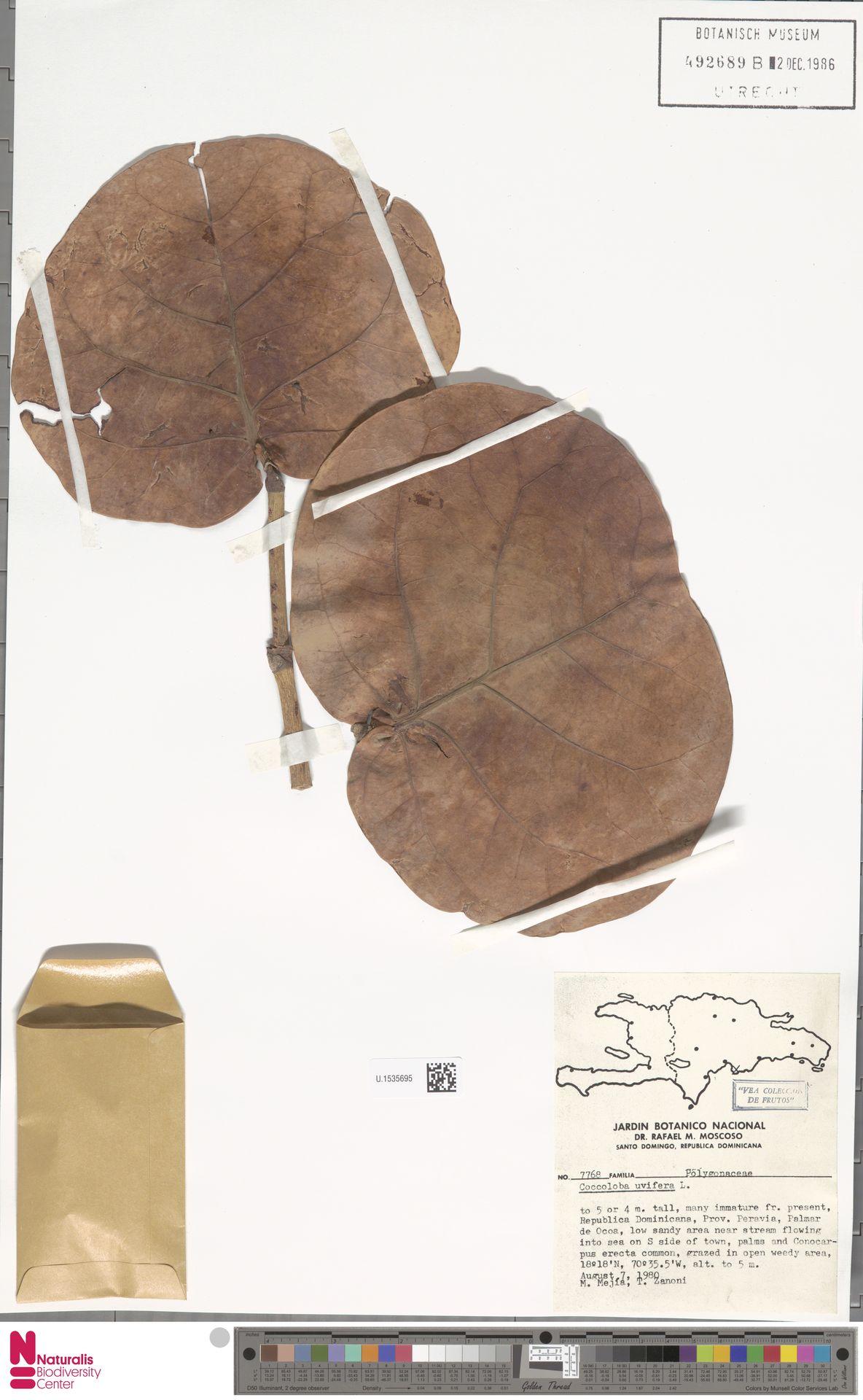 U.1535695 | Coccoloba uvifera (L.) L.