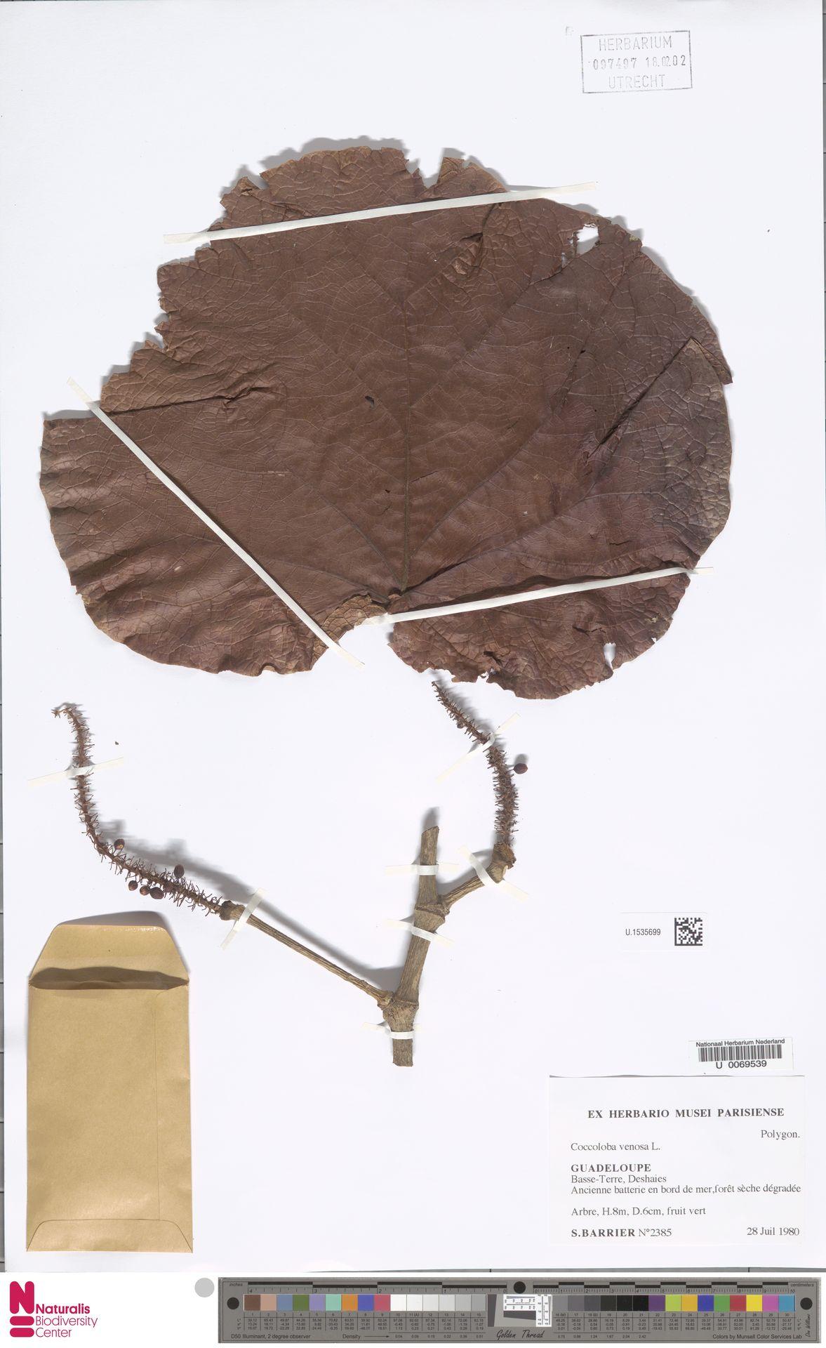 U.1535699 | Coccoloba uvifera (L.) L.