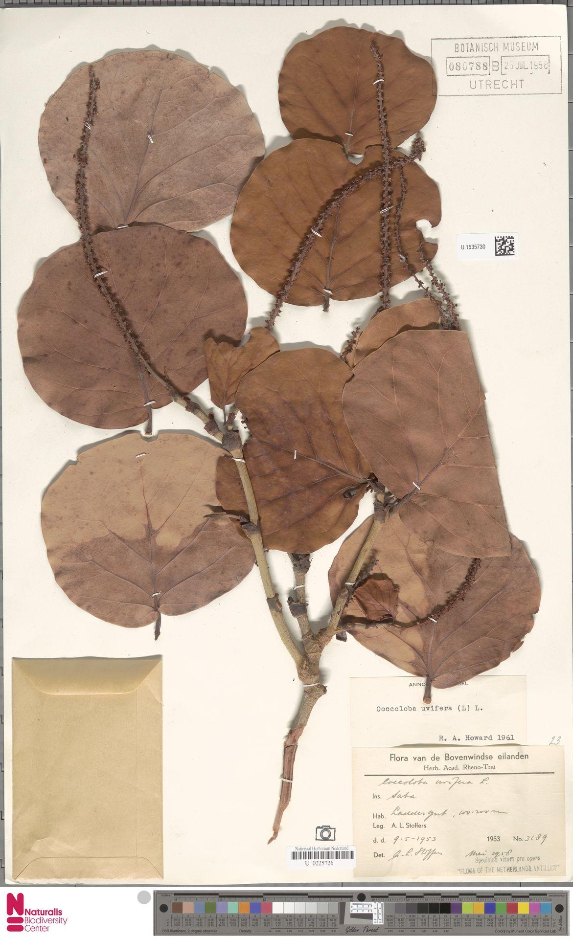 U.1535730 | Coccoloba uvifera (L.) L.