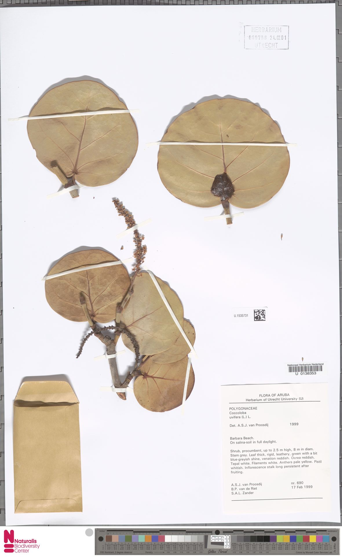 U.1535731 | Coccoloba uvifera (L.) L.