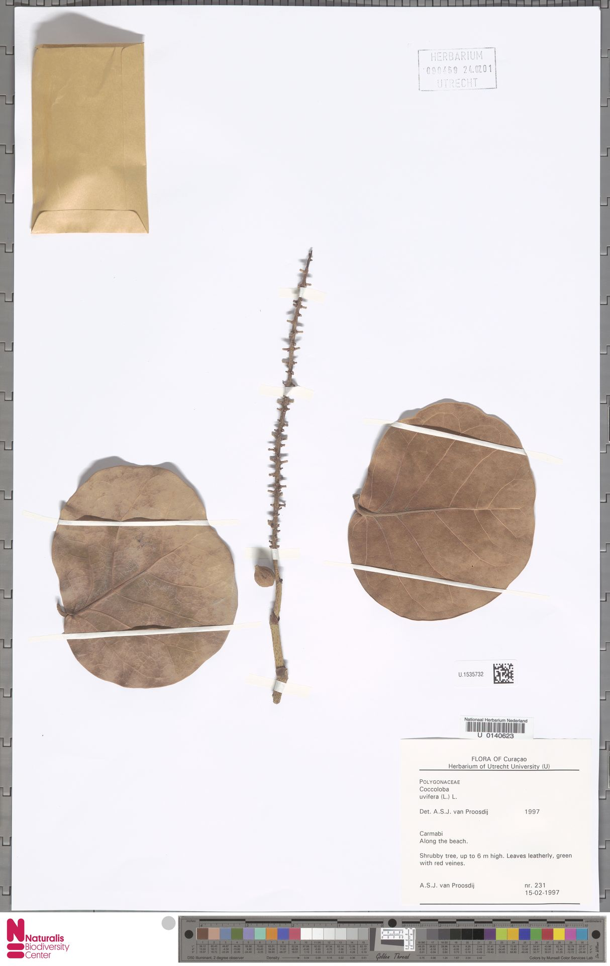 U.1535732 | Coccoloba uvifera (L.) L.
