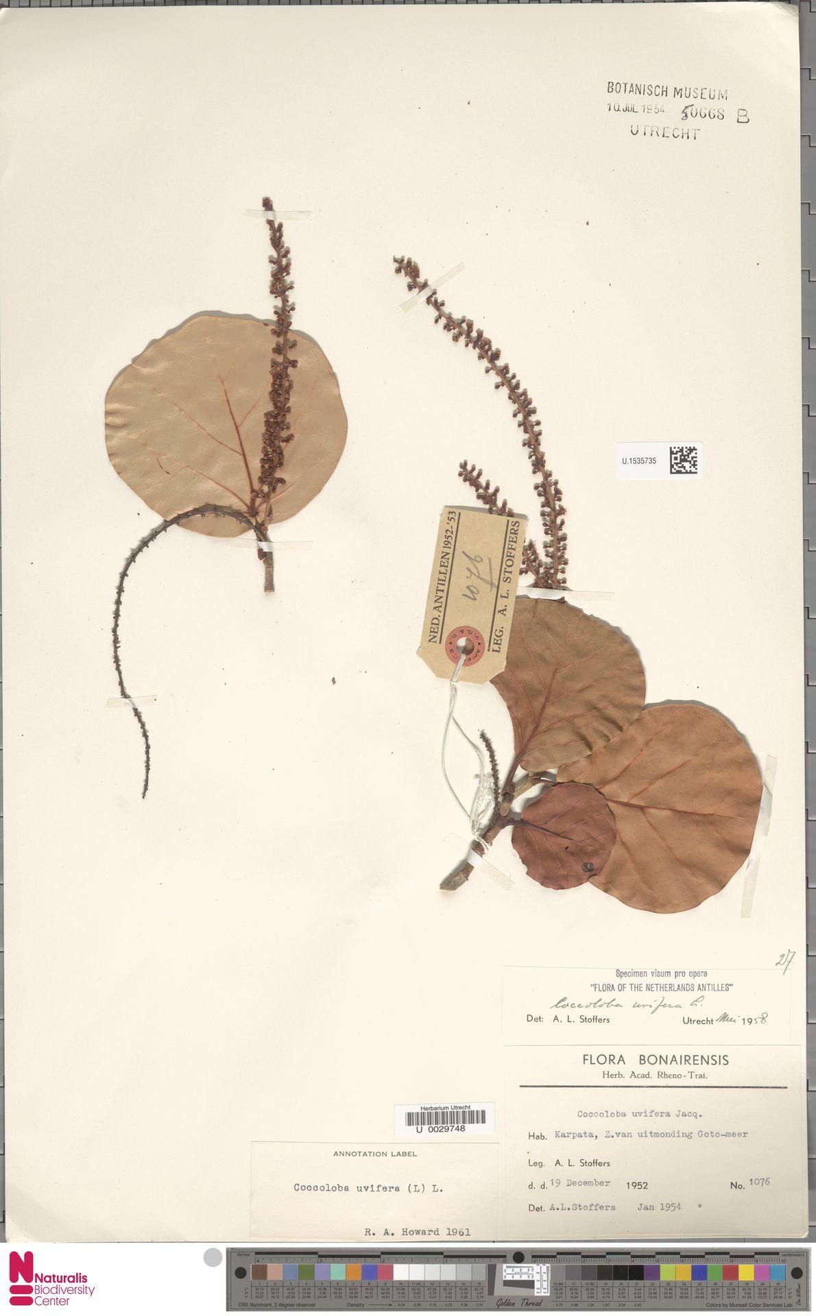 U.1535735 | Coccoloba uvifera (L.) L.