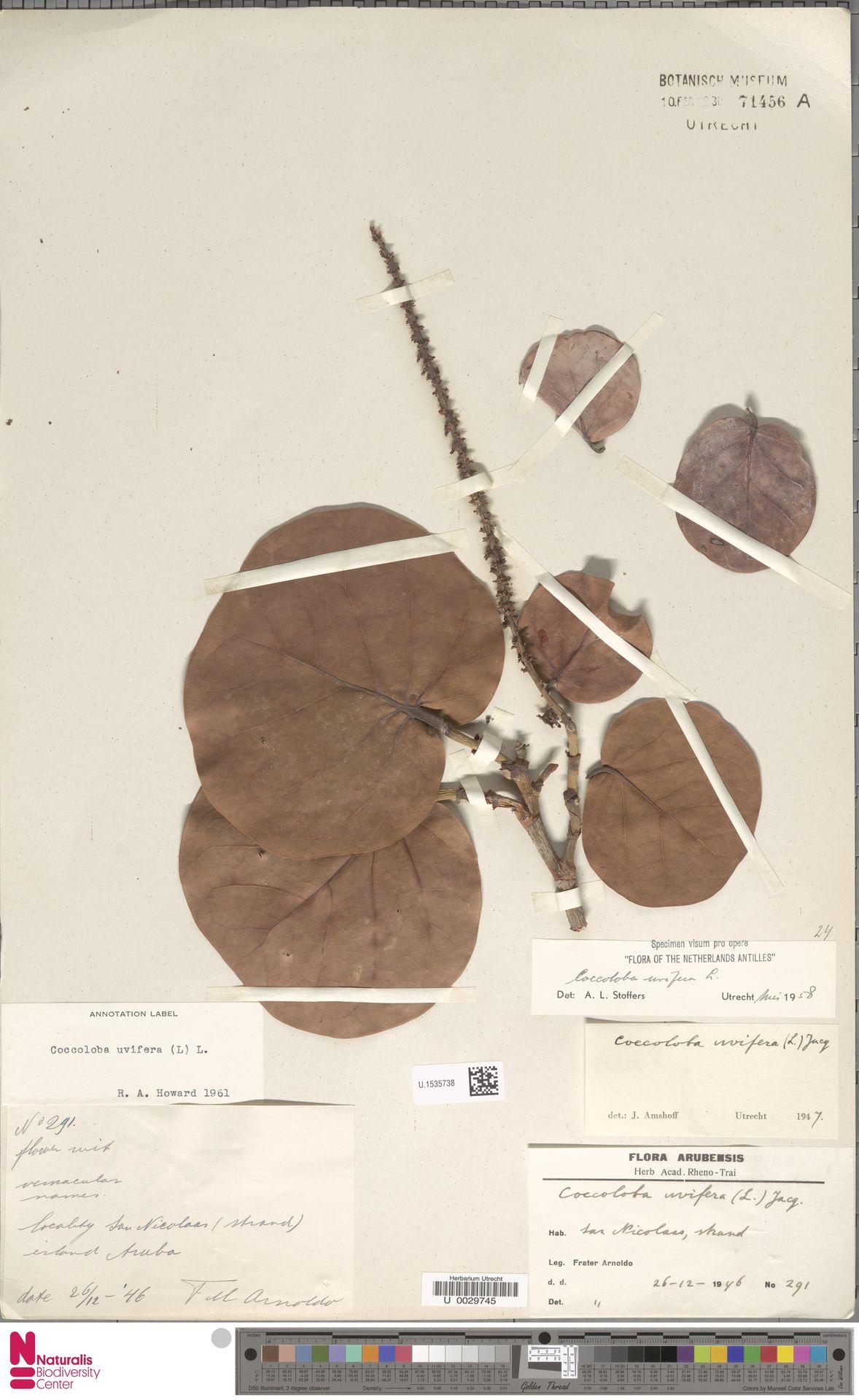 U.1535738 | Coccoloba uvifera (L.) L.