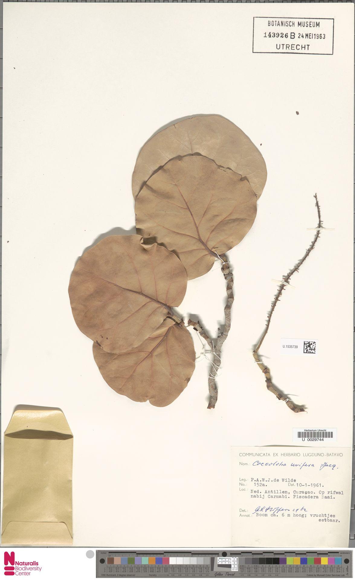 U.1535739 | Coccoloba uvifera (L.) L.