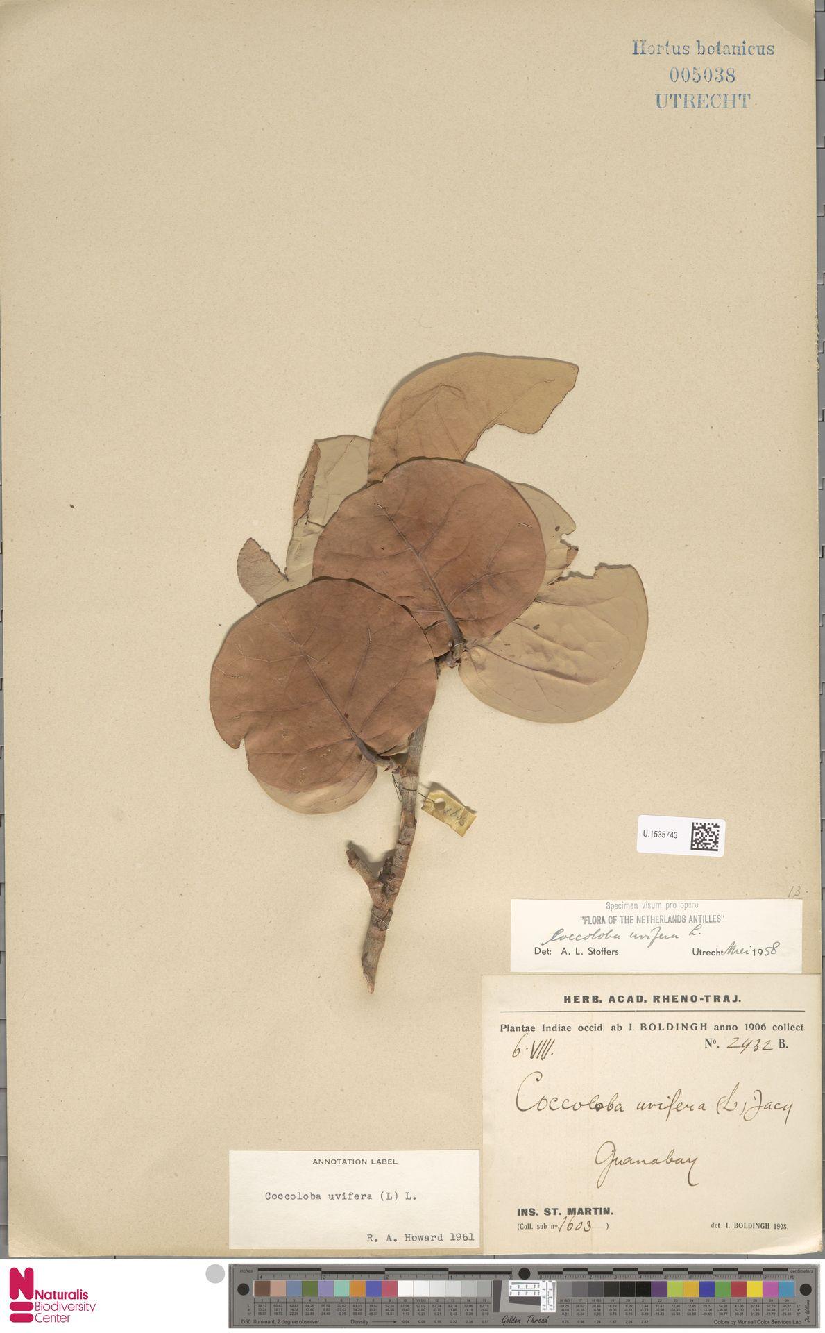 U.1535743 | Coccoloba uvifera (L.) L.