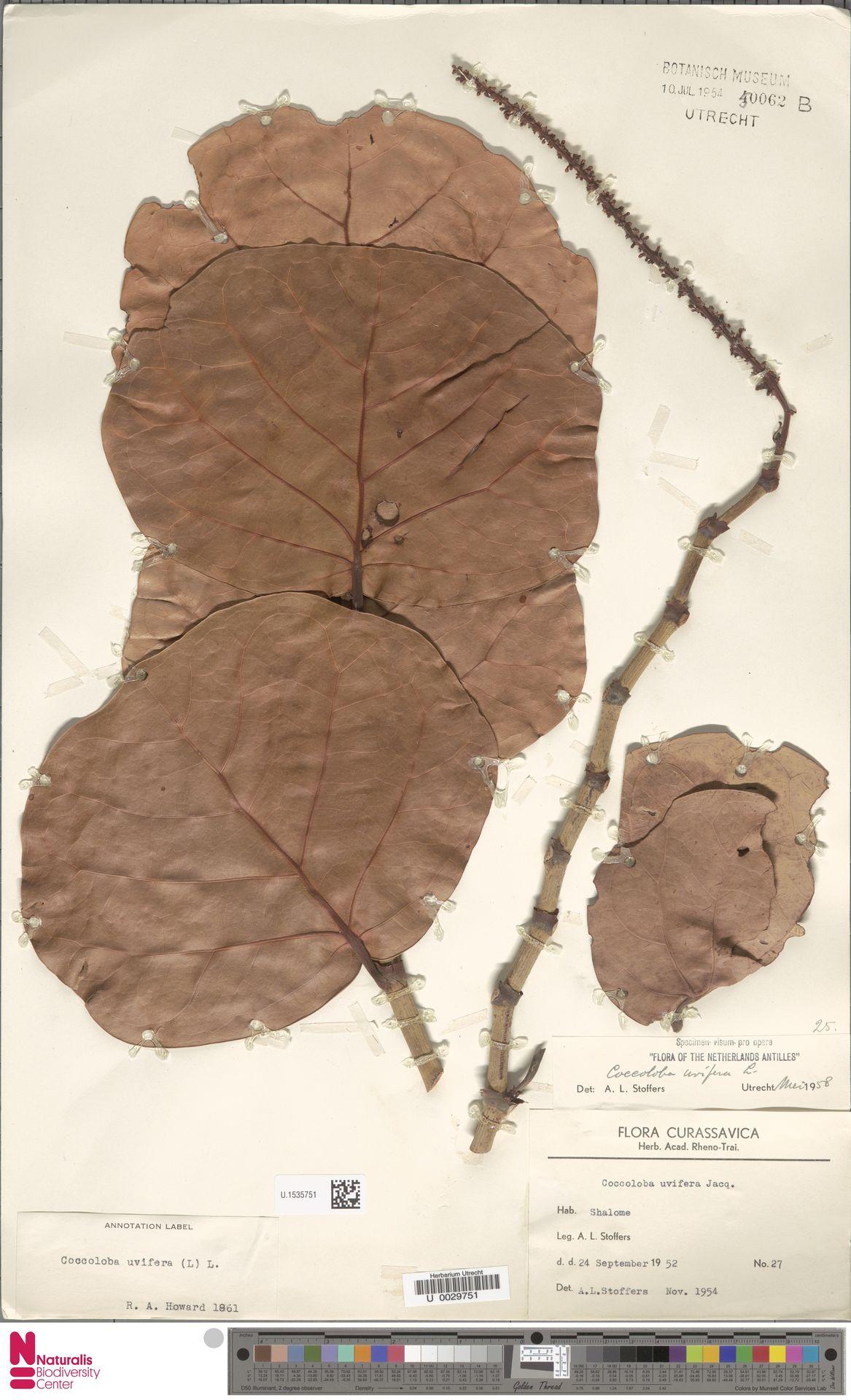 U.1535751 | Coccoloba uvifera (L.) L.