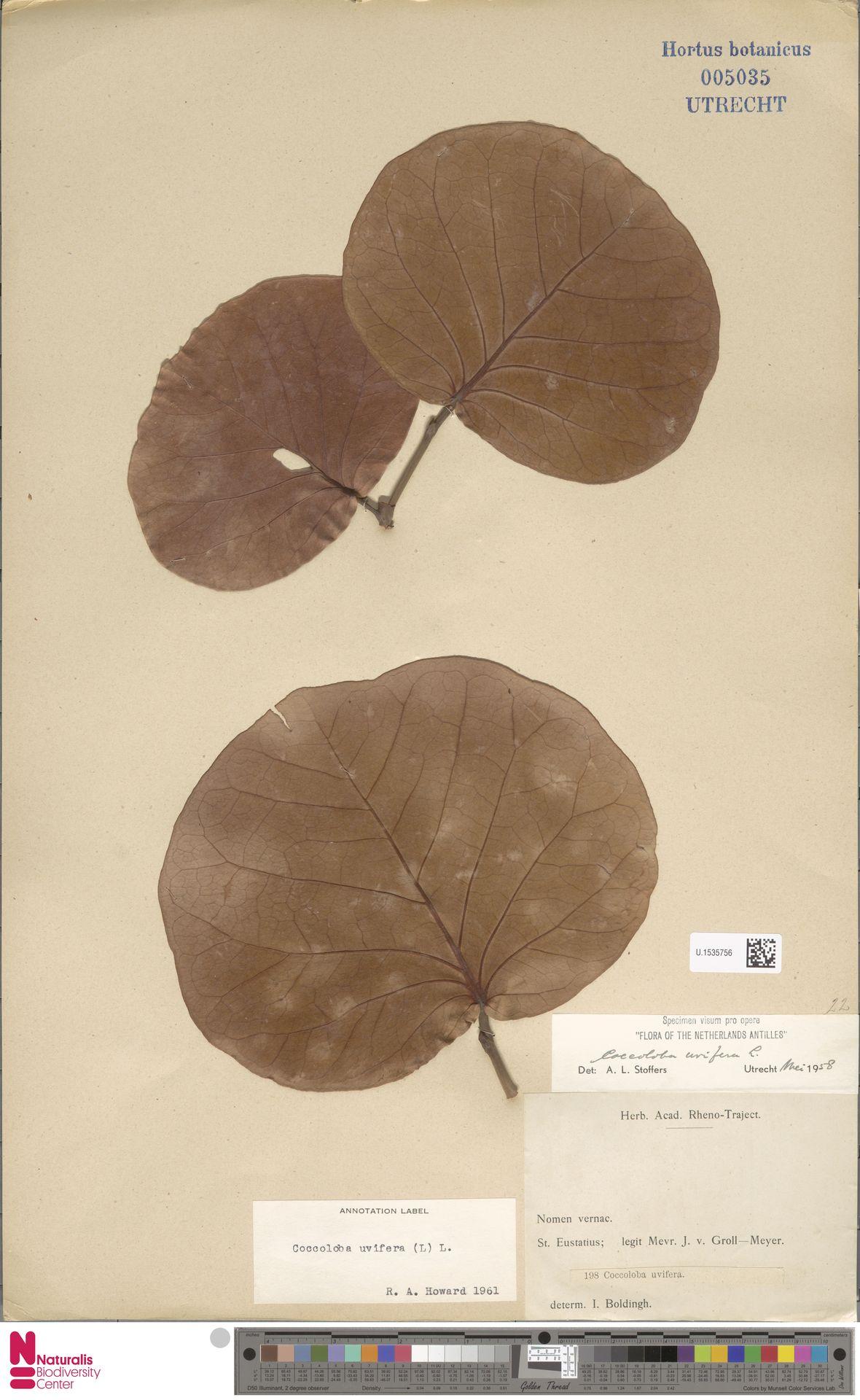U.1535756 | Coccoloba uvifera (L.) L.