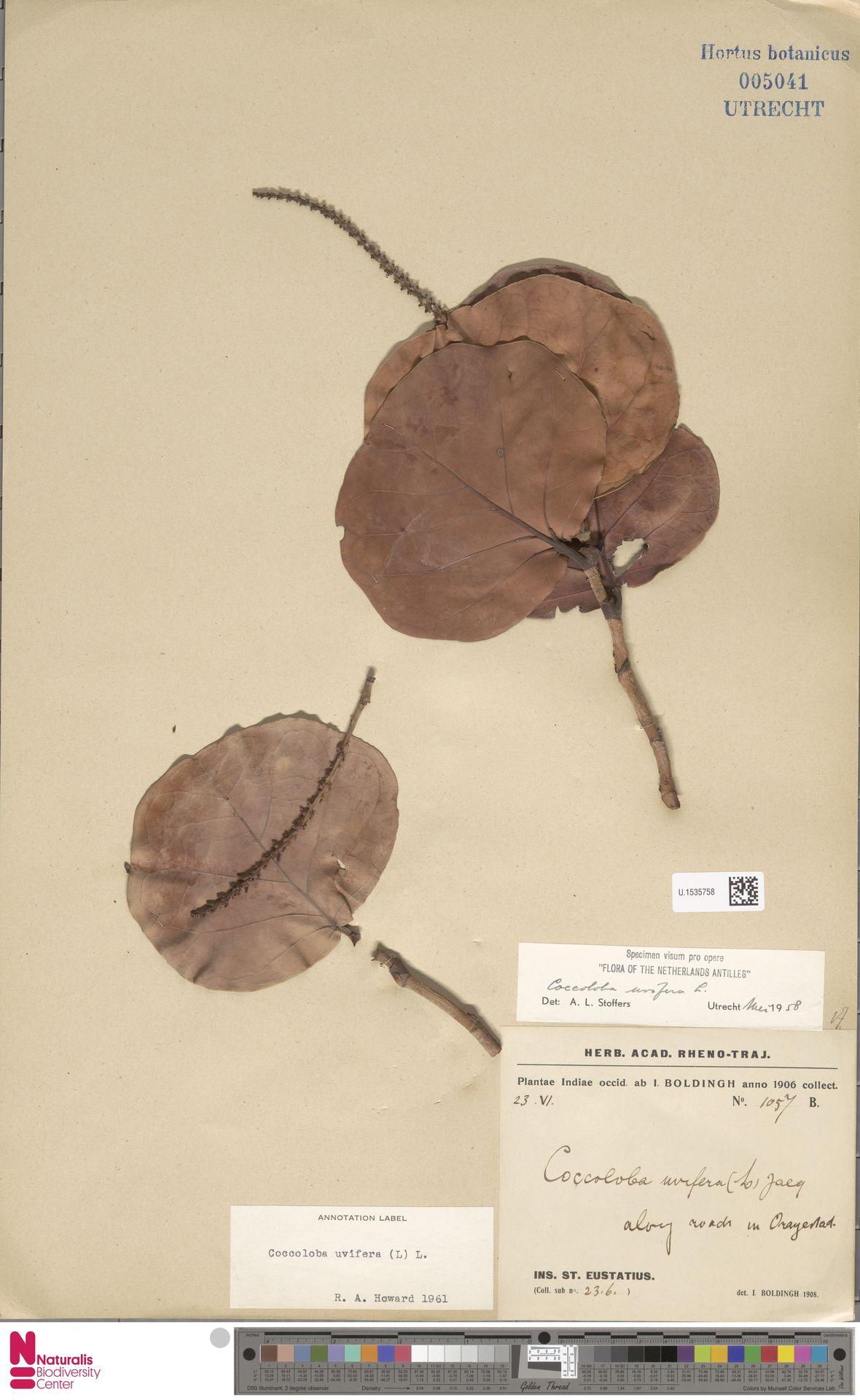 U.1535758 | Coccoloba uvifera (L.) L.