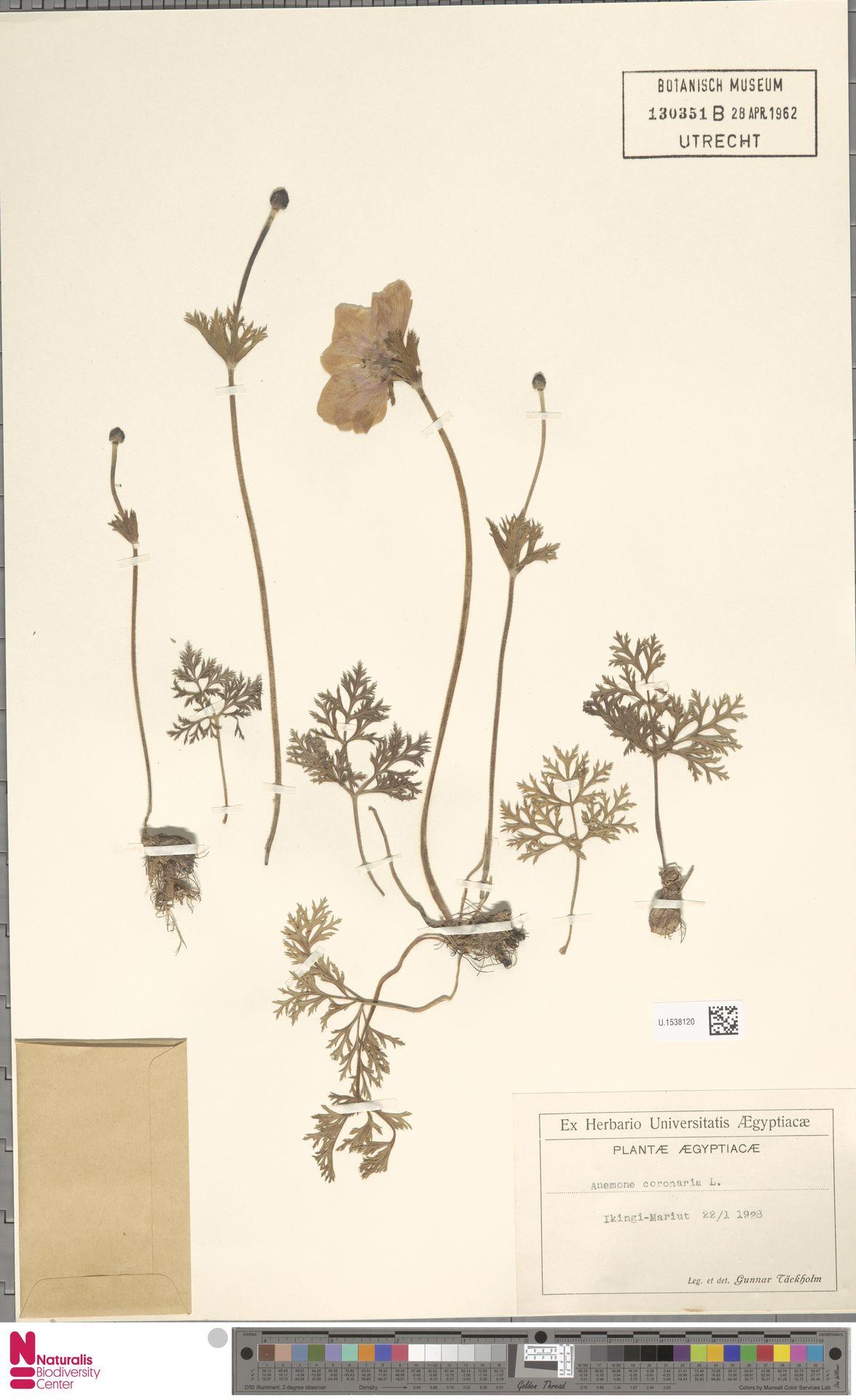 U.1538120 | Anemone coronaria L.