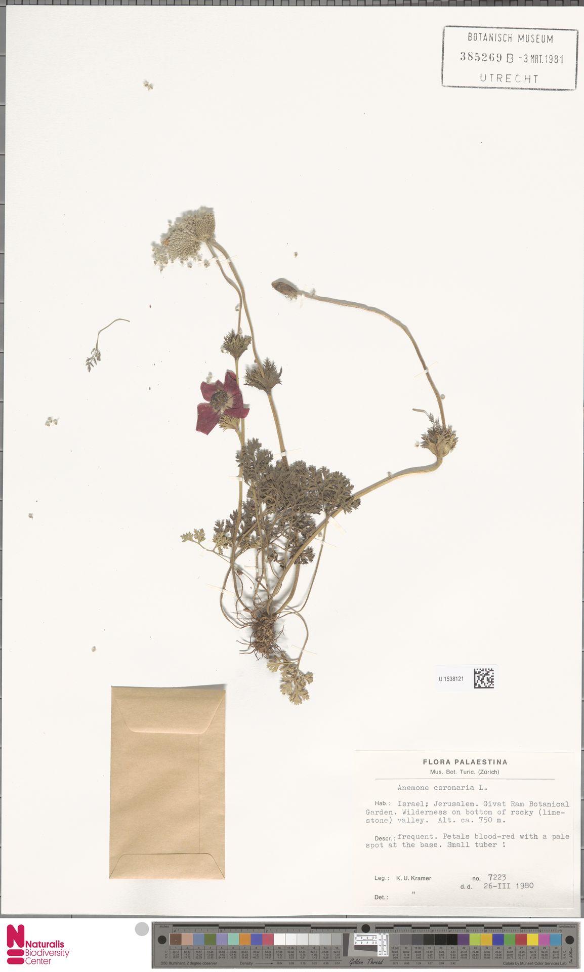 U.1538121 | Anemone coronaria L.