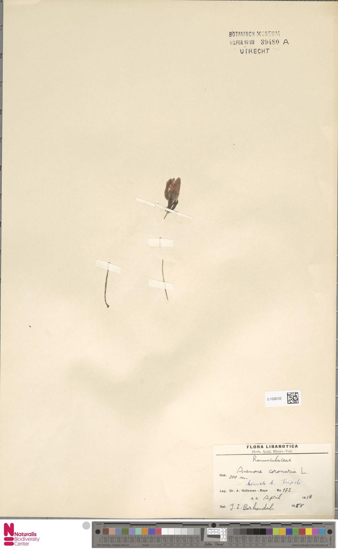 U.1538122 | Anemone coronaria L.