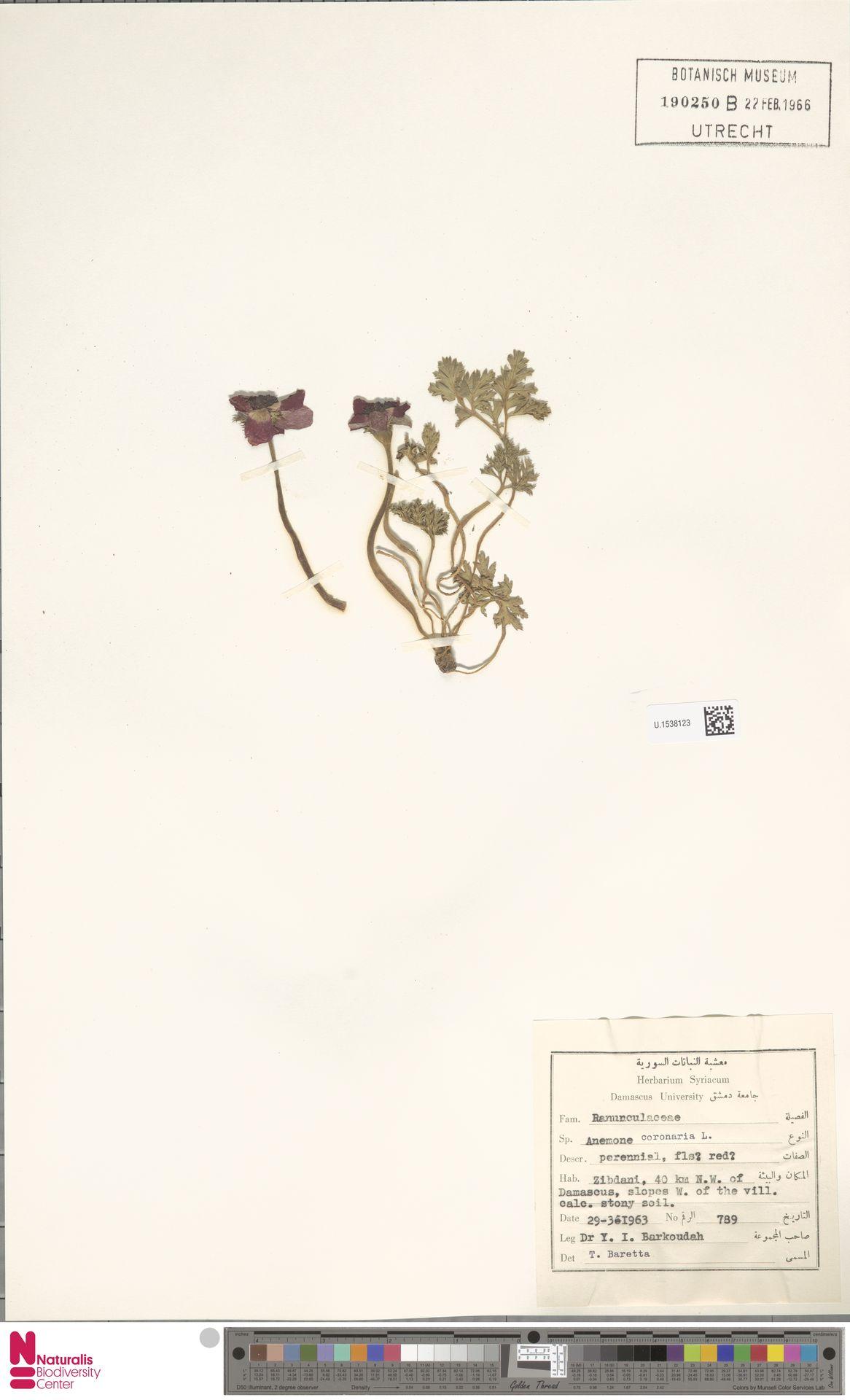 U.1538123 | Anemone coronaria L.