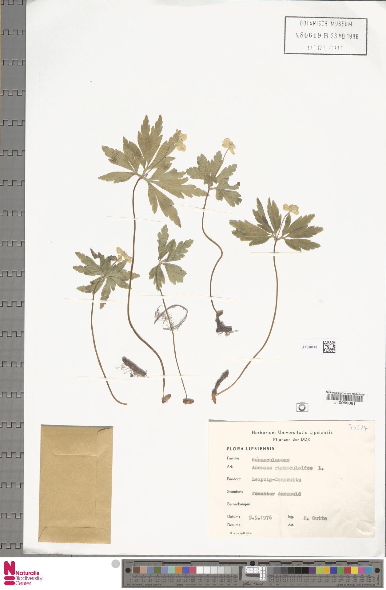 U.1538148 | Anemone ranunculoides L.