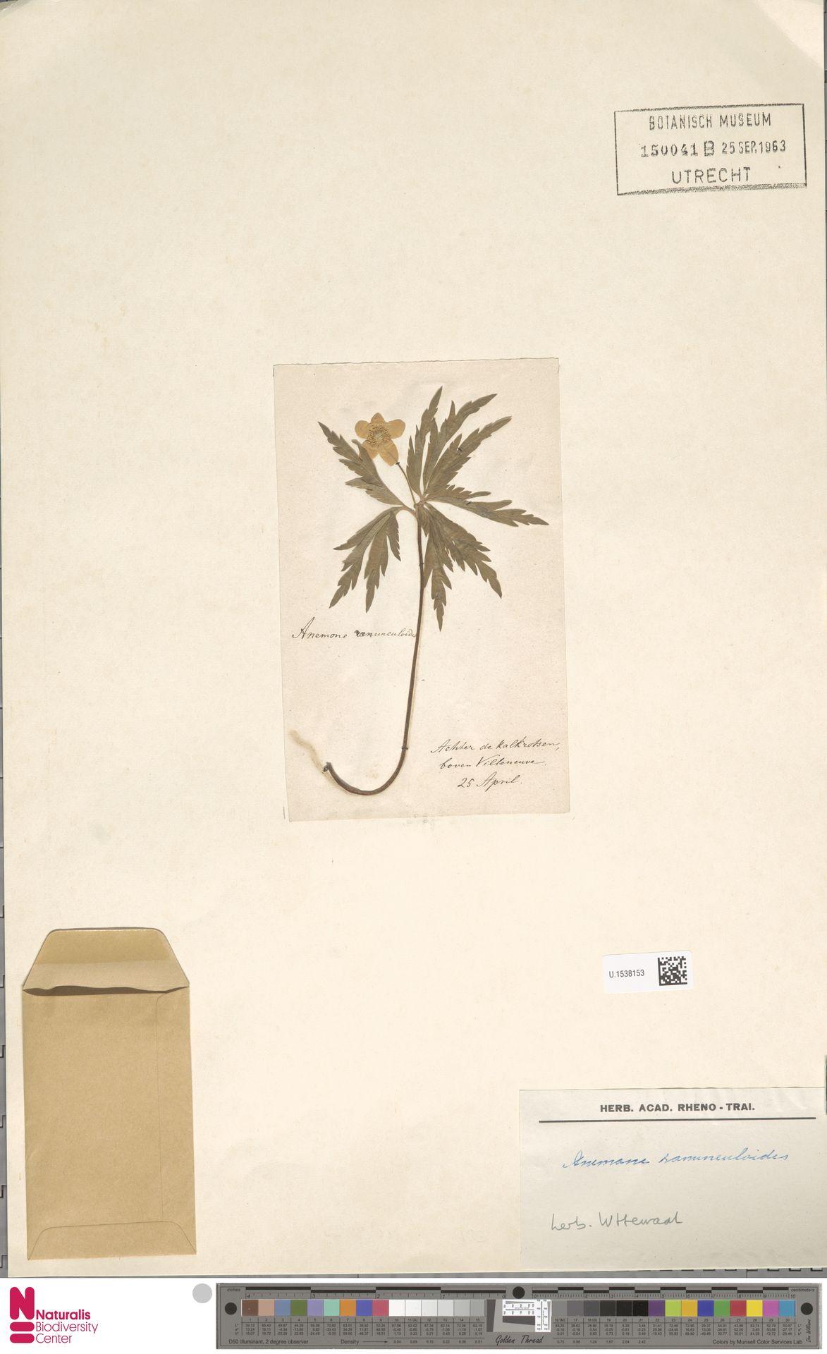 U.1538153   Anemone ranunculoides L.