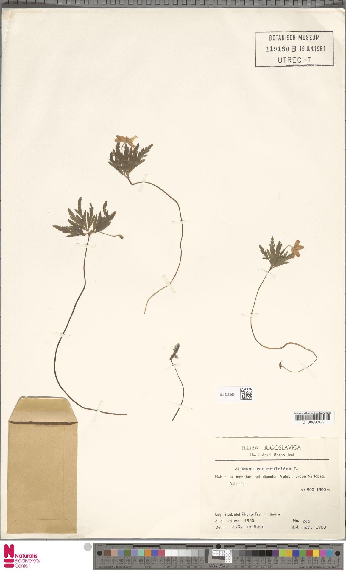 U.1538168 | Anemone ranunculoides L.