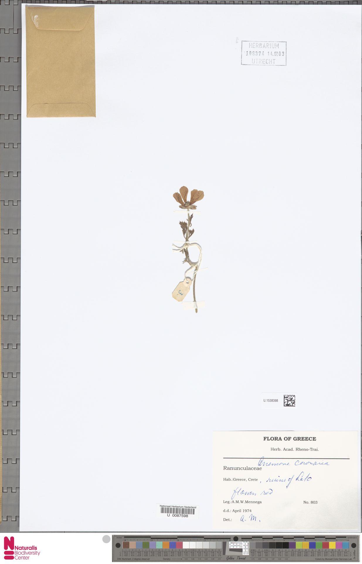 U.1538398 | Anemone coronaria L.
