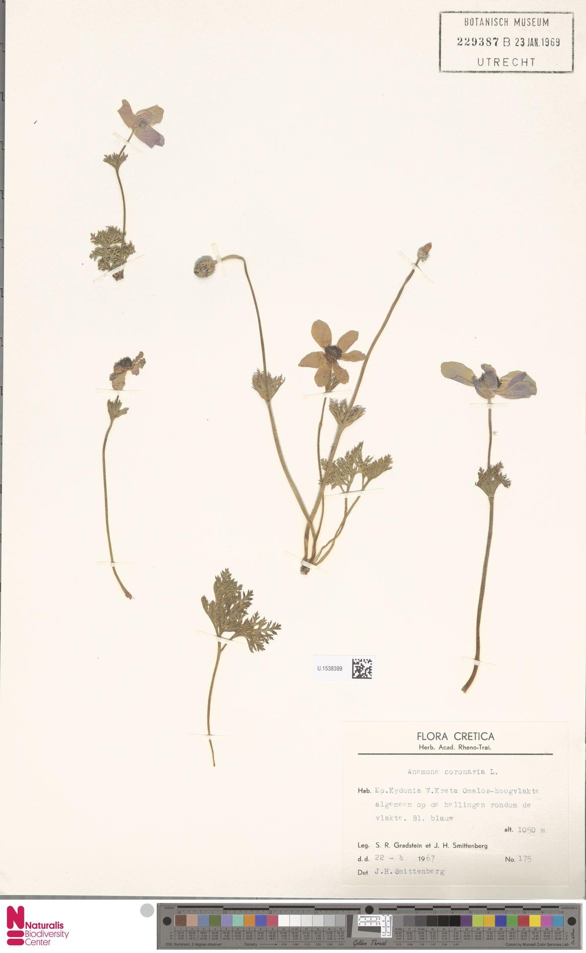 U.1538399 | Anemone coronaria L.