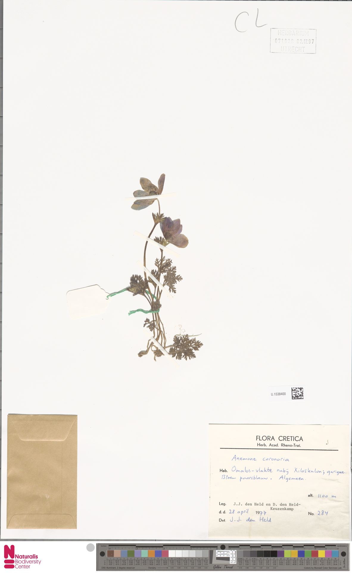 U.1538400 | Anemone coronaria L.