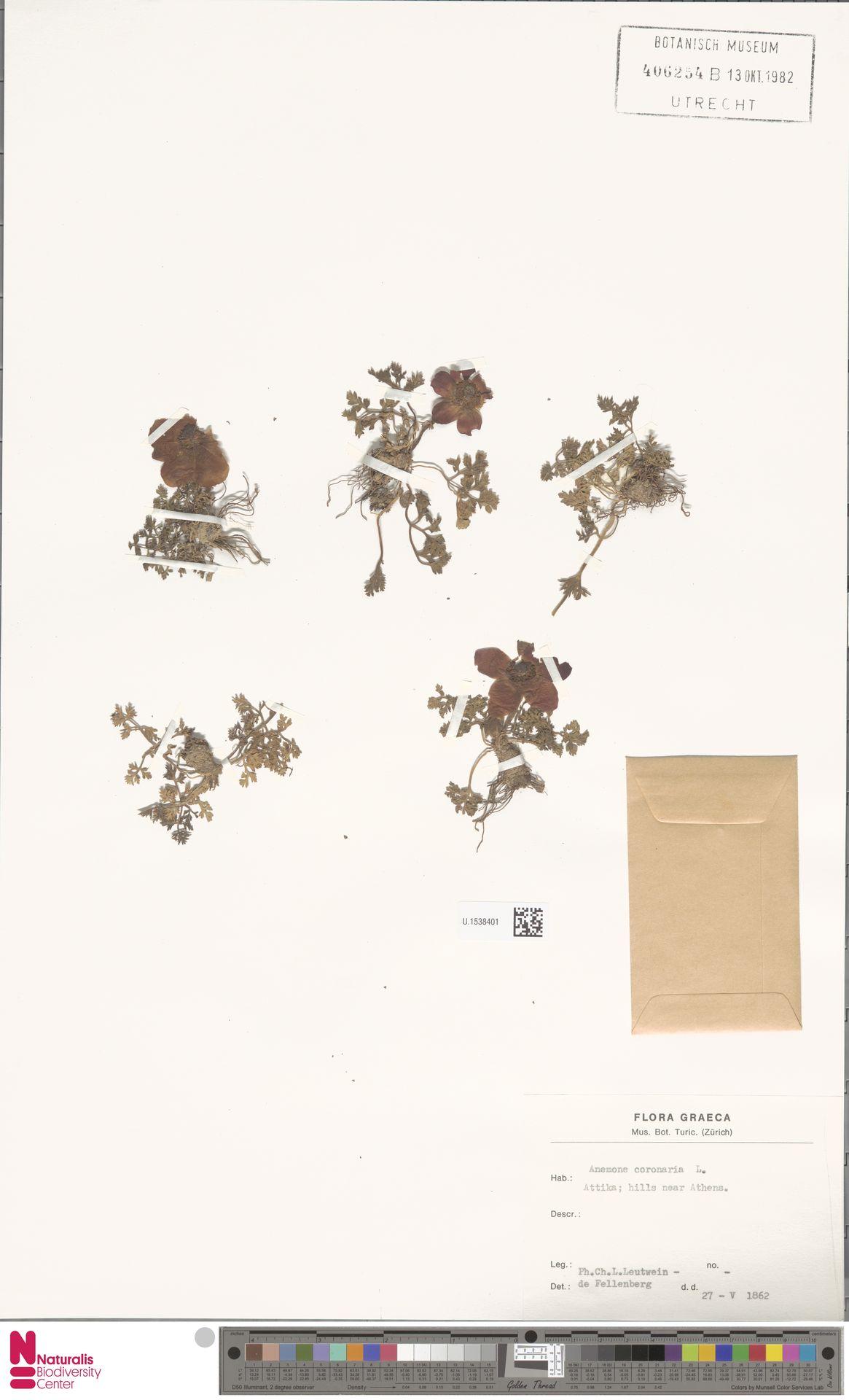 U.1538401 | Anemone coronaria L.