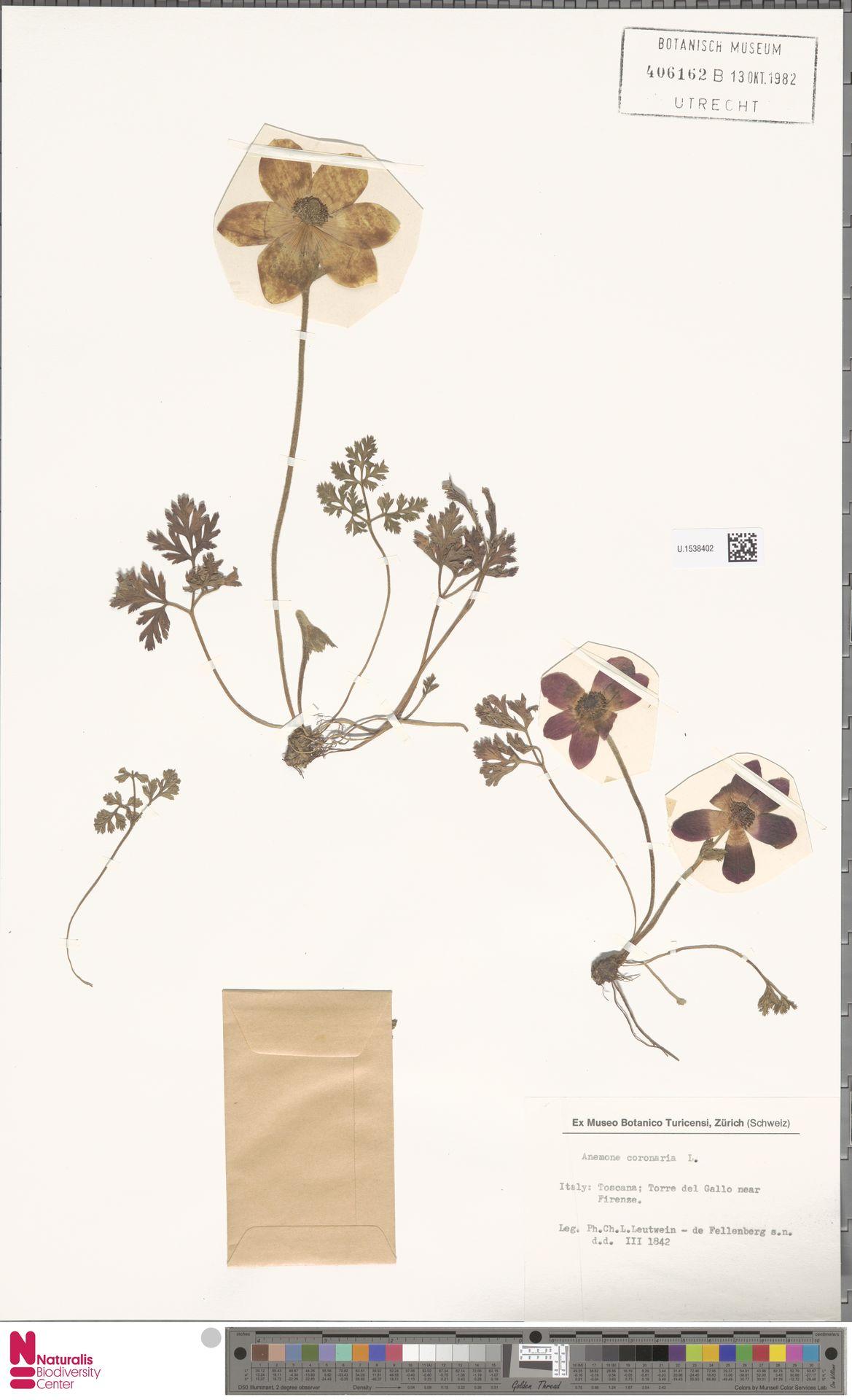 U.1538402 | Anemone coronaria L.