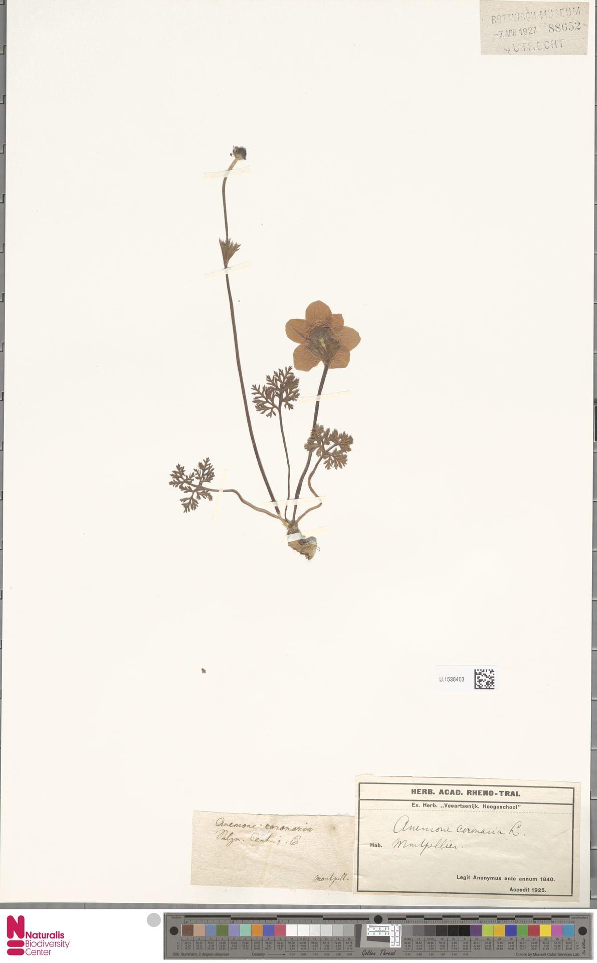 U.1538403 | Anemone coronaria L.