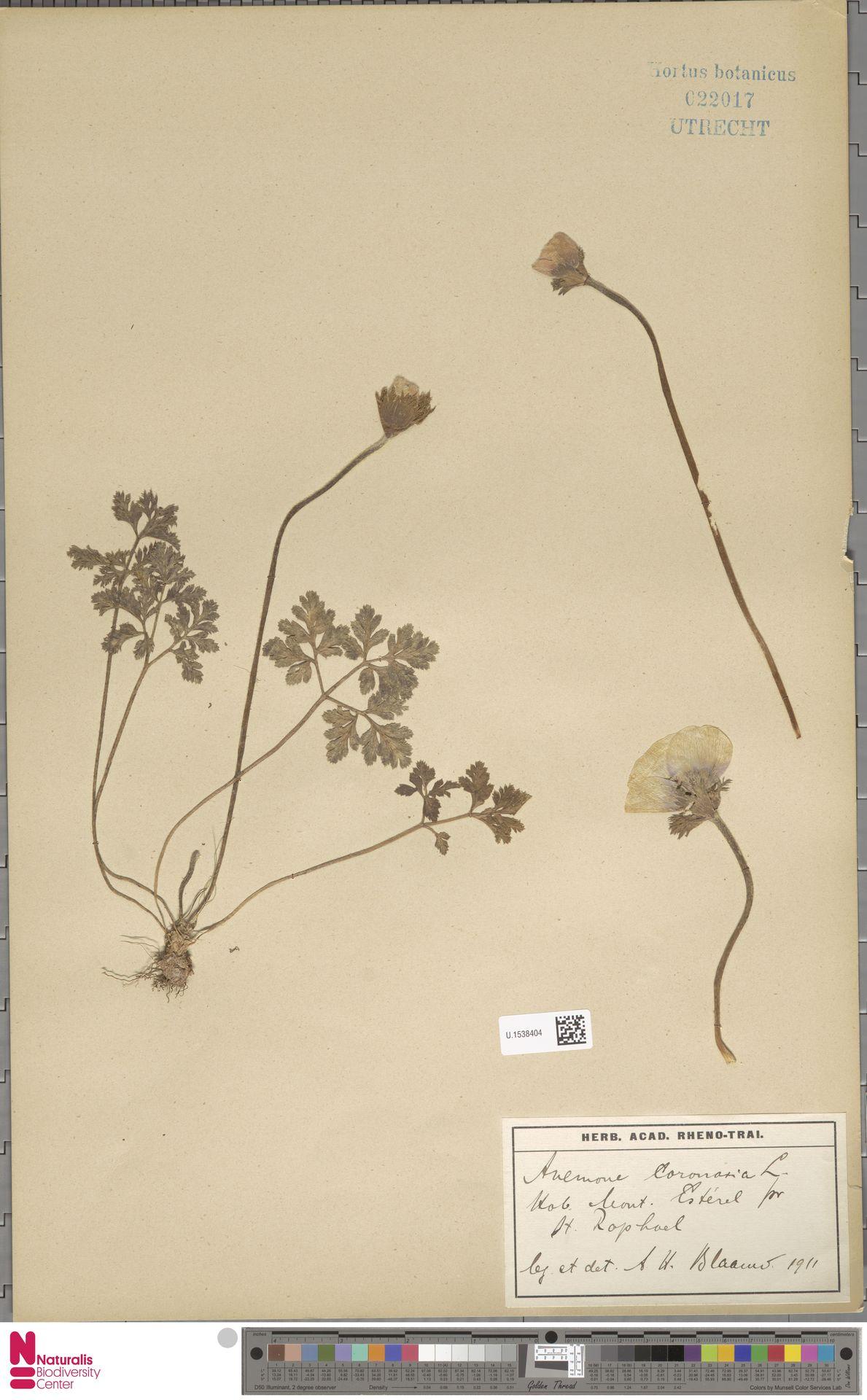 U.1538404 | Anemone coronaria L.
