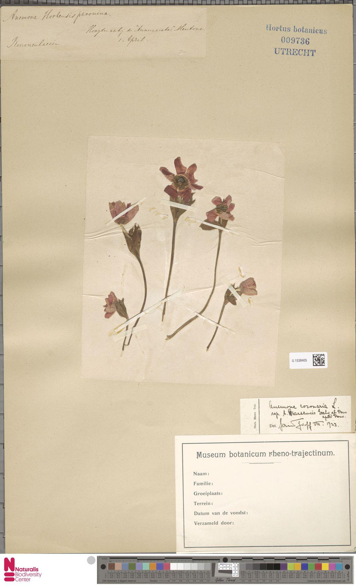 U.1538405 | Anemone coronaria L.