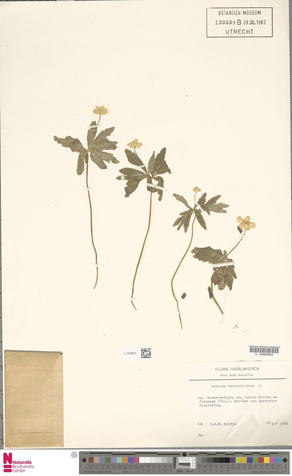 U.1538615 | Anemone ranunculoides L.