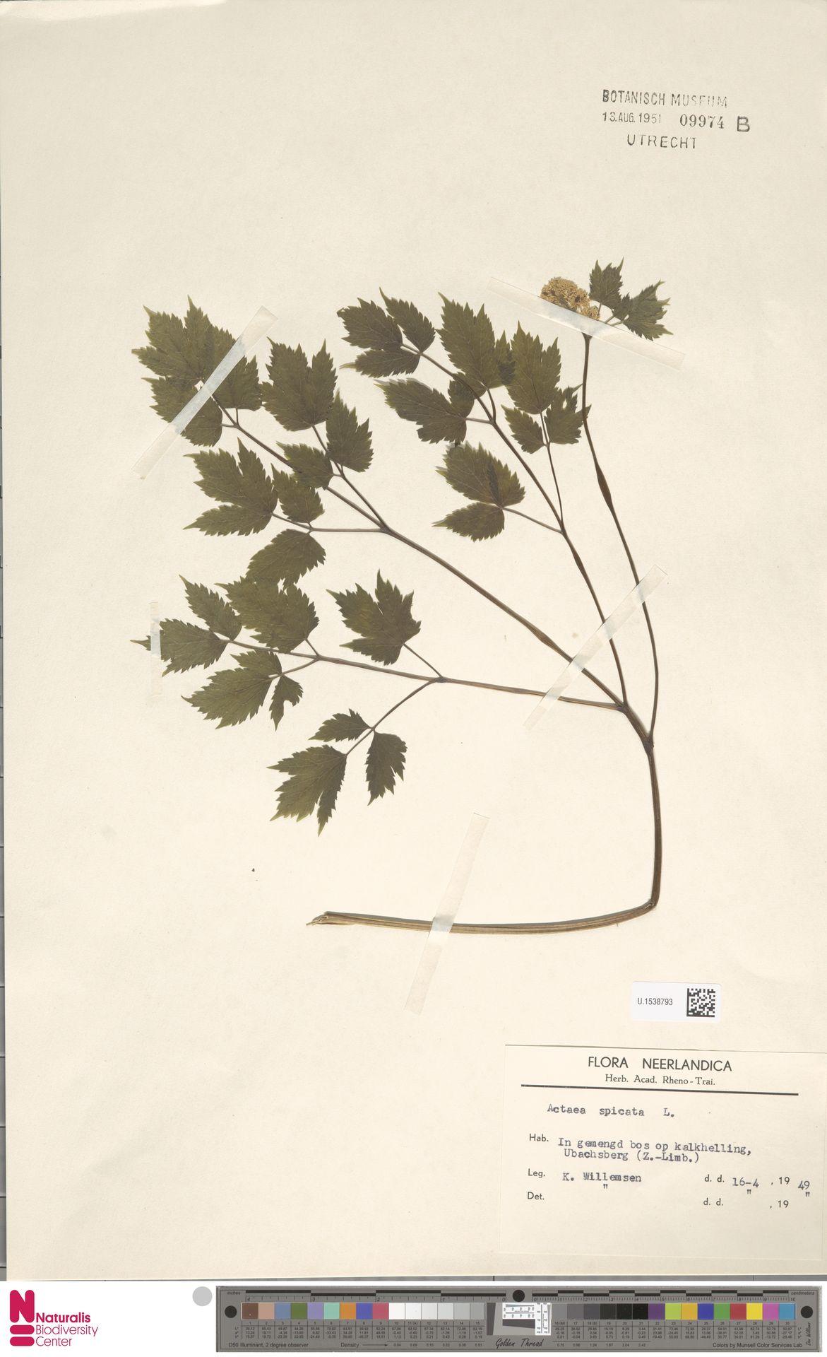 U.1538793 | Actaea spicata L.