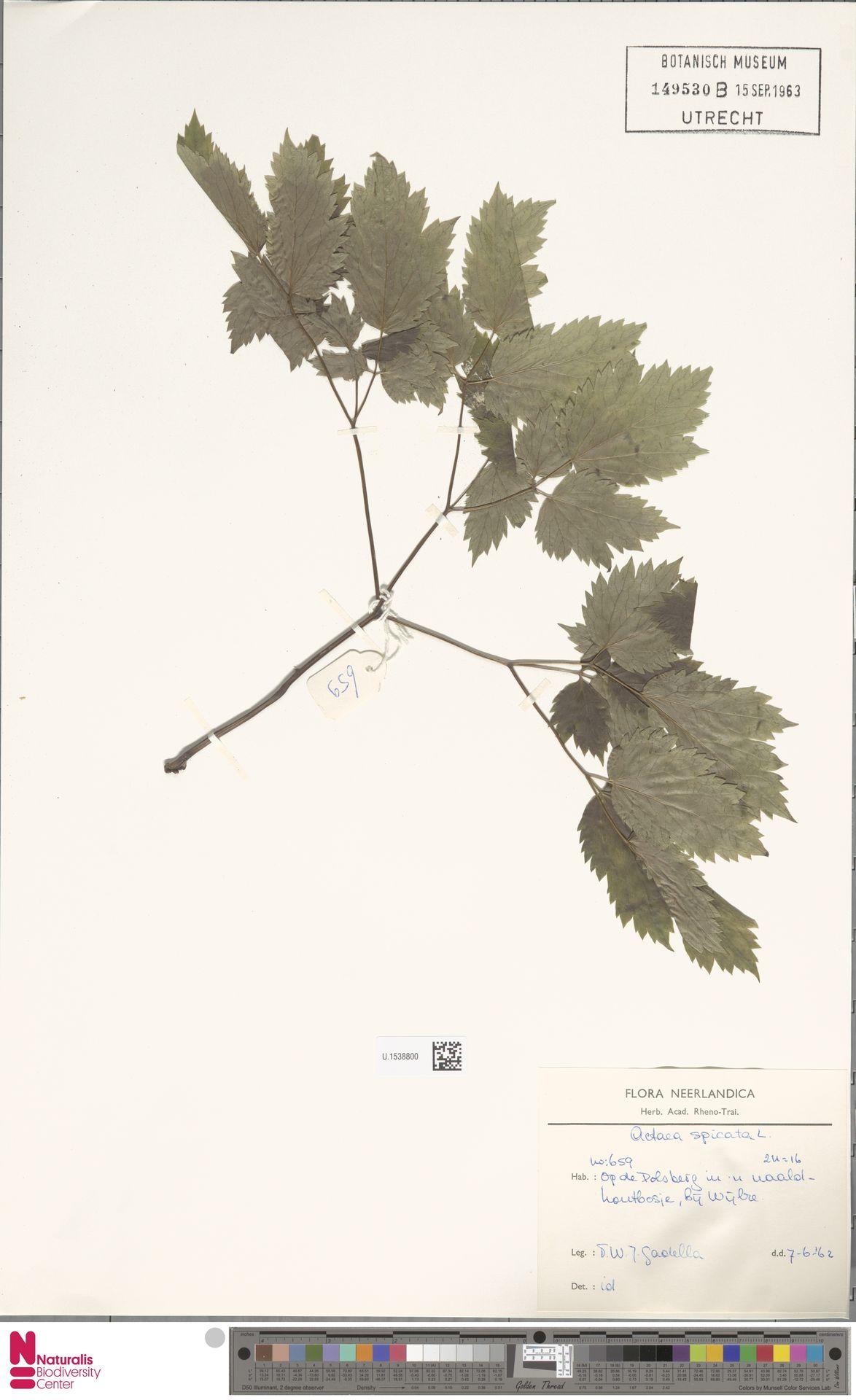 U.1538800 | Actaea spicata L.