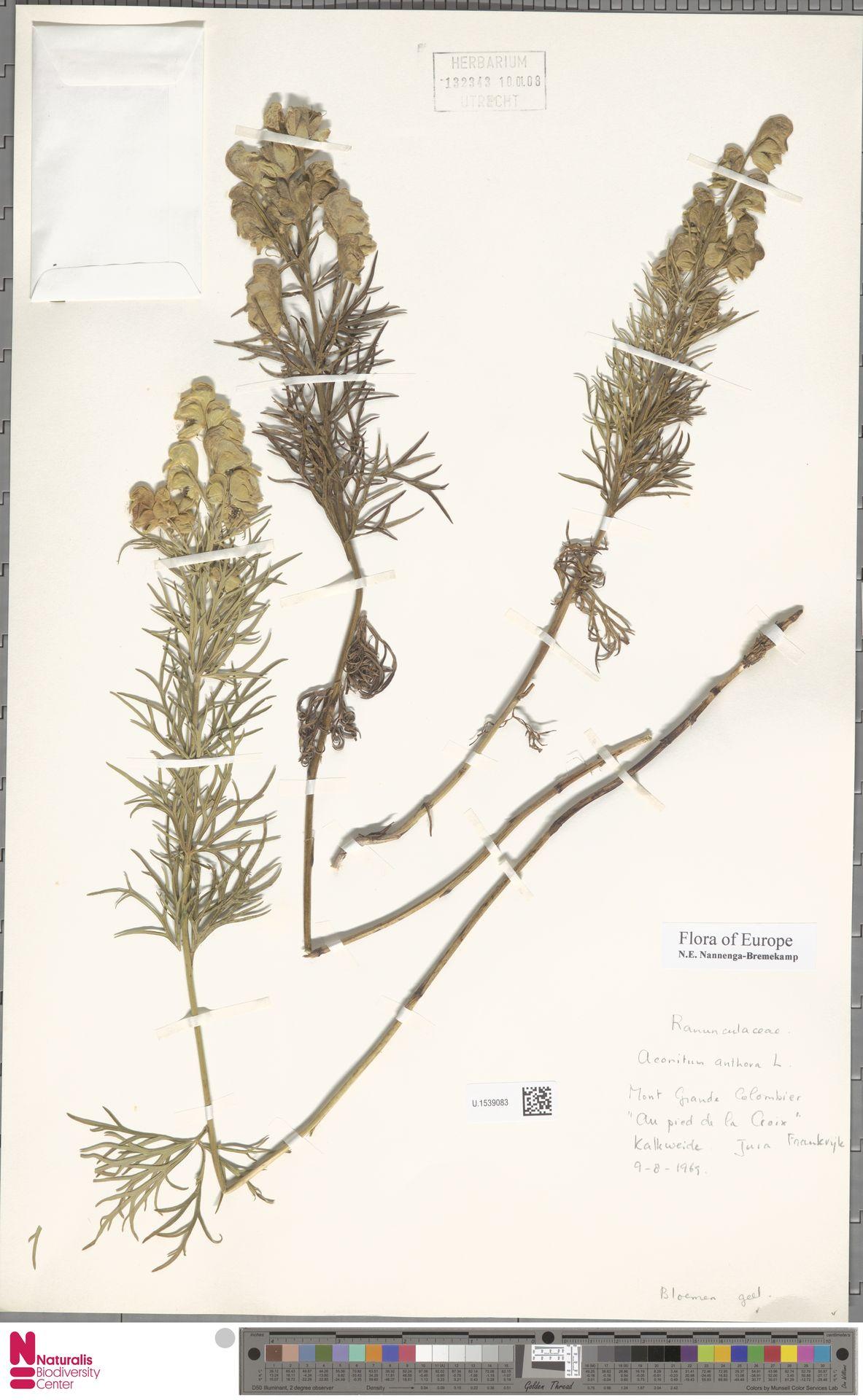 U.1539083   Aconitum anthora L.