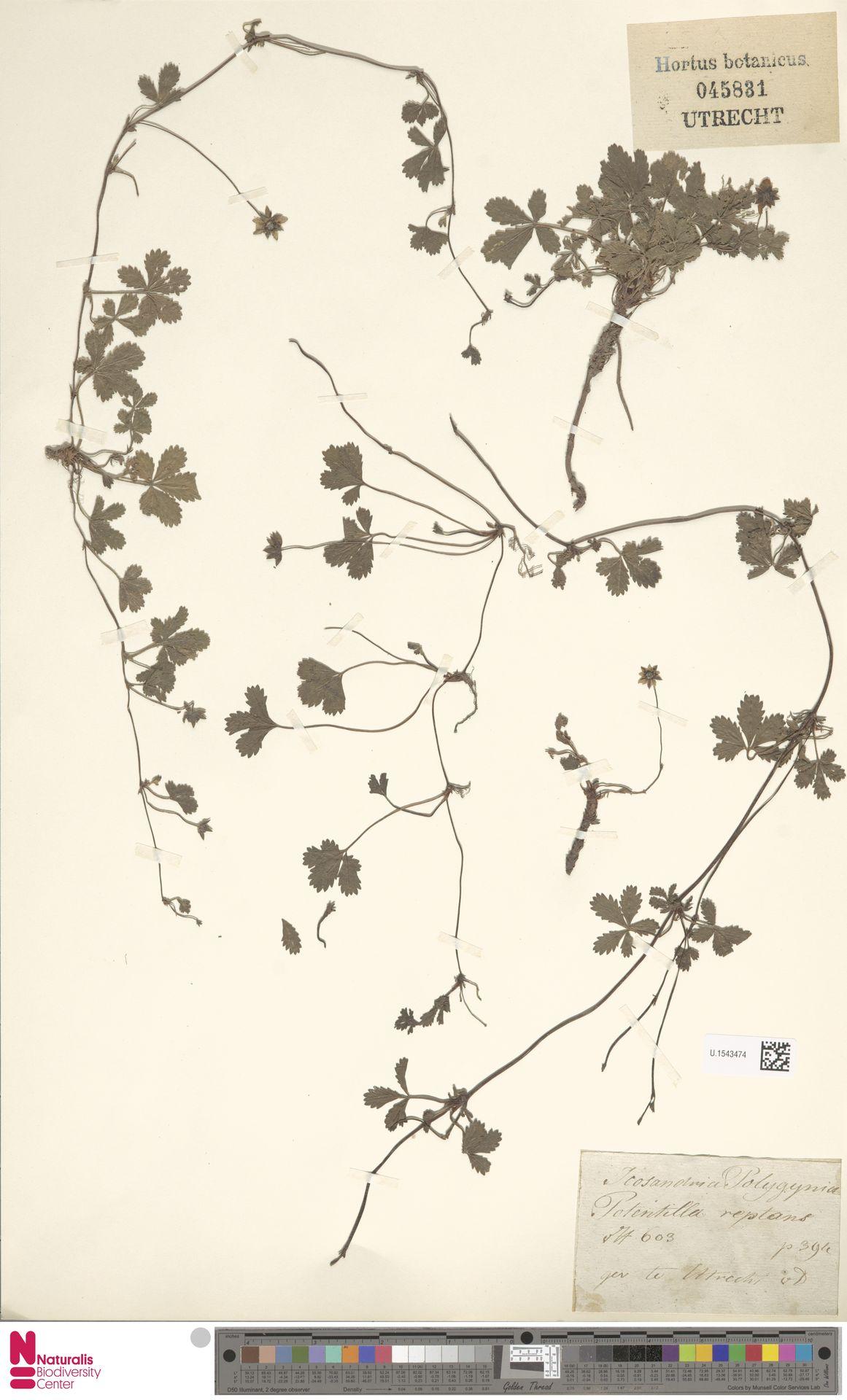 U.1543474 | Potentilla reptans L.
