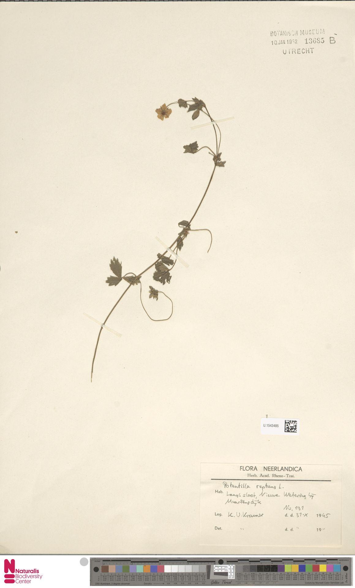 U.1543485 | Potentilla reptans L.