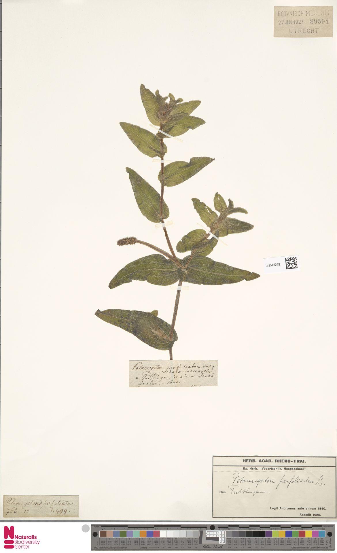U.1545229 | Potamogeton perfoliatus L.