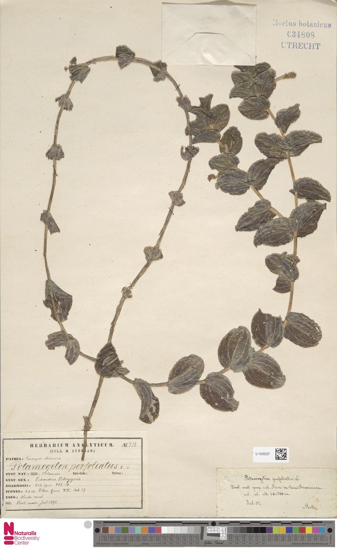 U.1545237 | Potamogeton perfoliatus L.