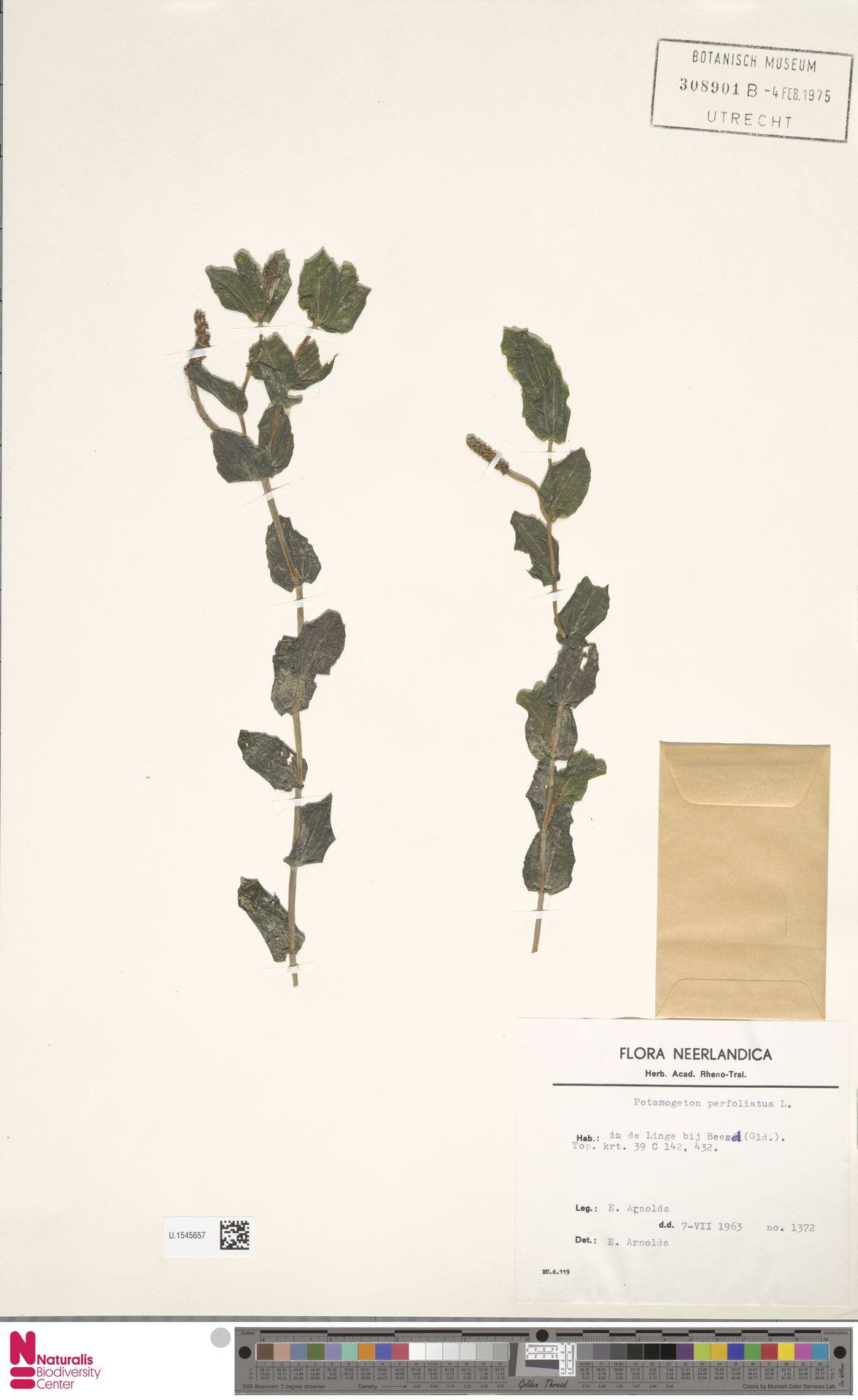 U.1545657 | Potamogeton perfoliatus L.