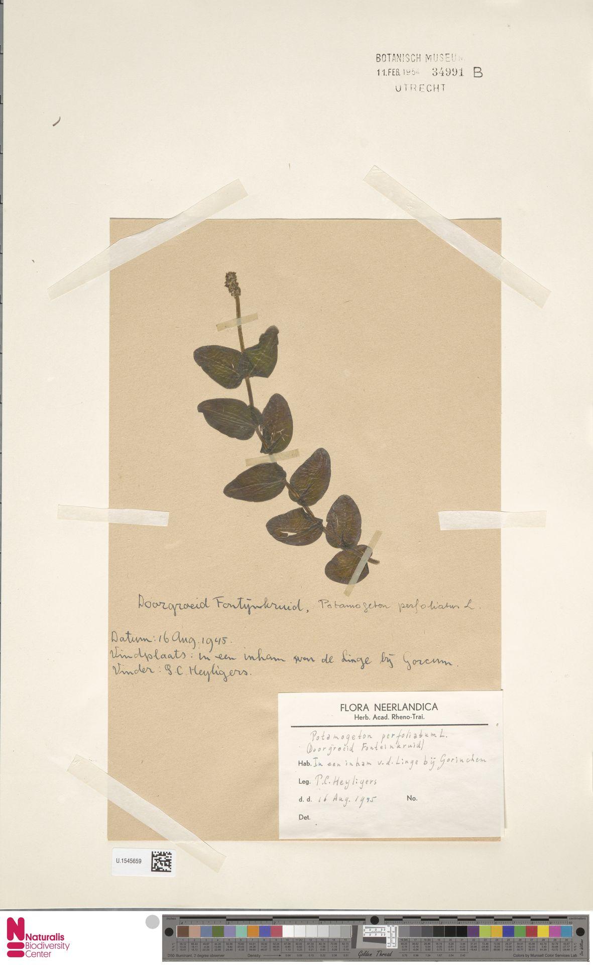 U.1545659 | Potamogeton perfoliatus L.