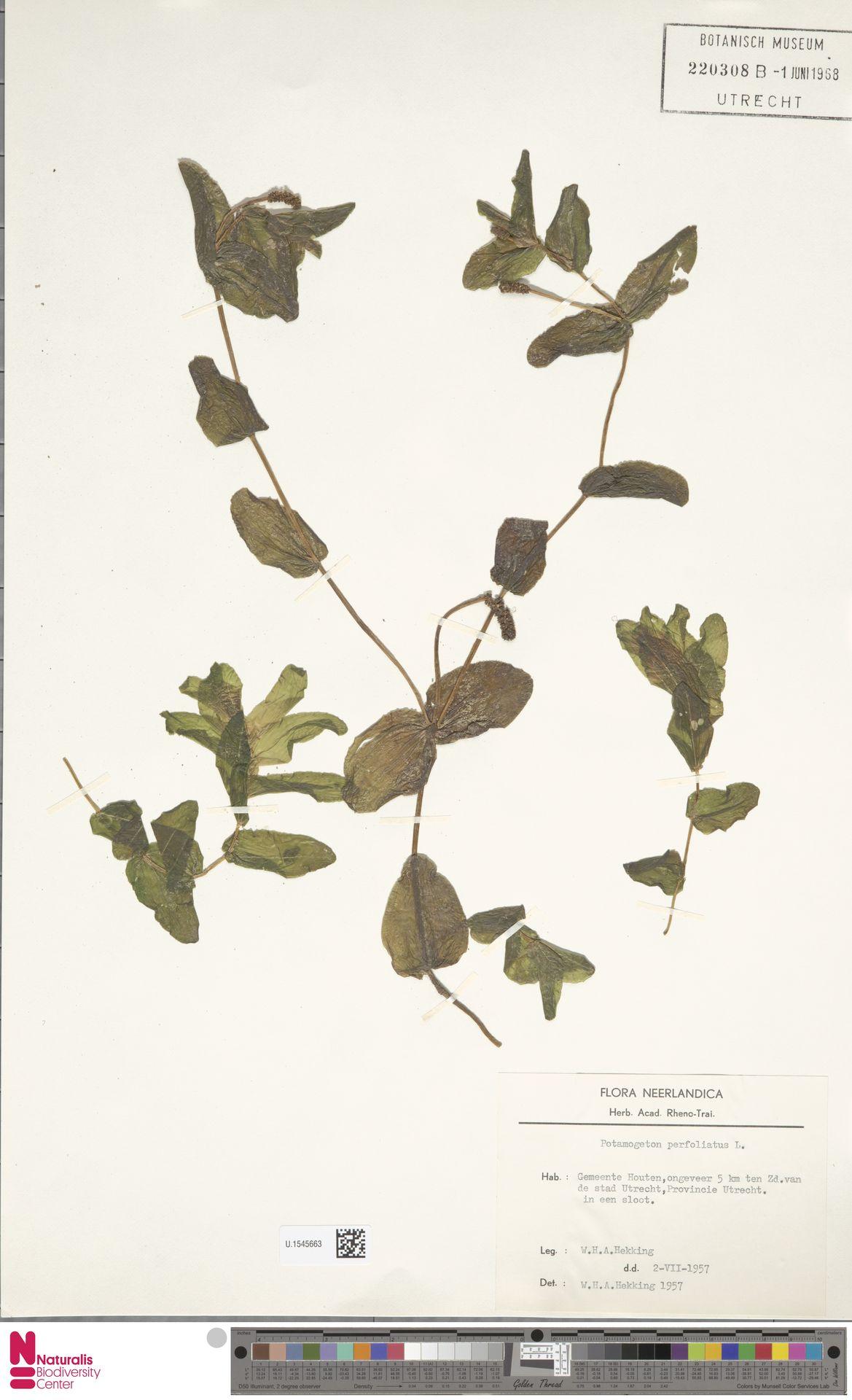 U.1545663 | Potamogeton perfoliatus L.