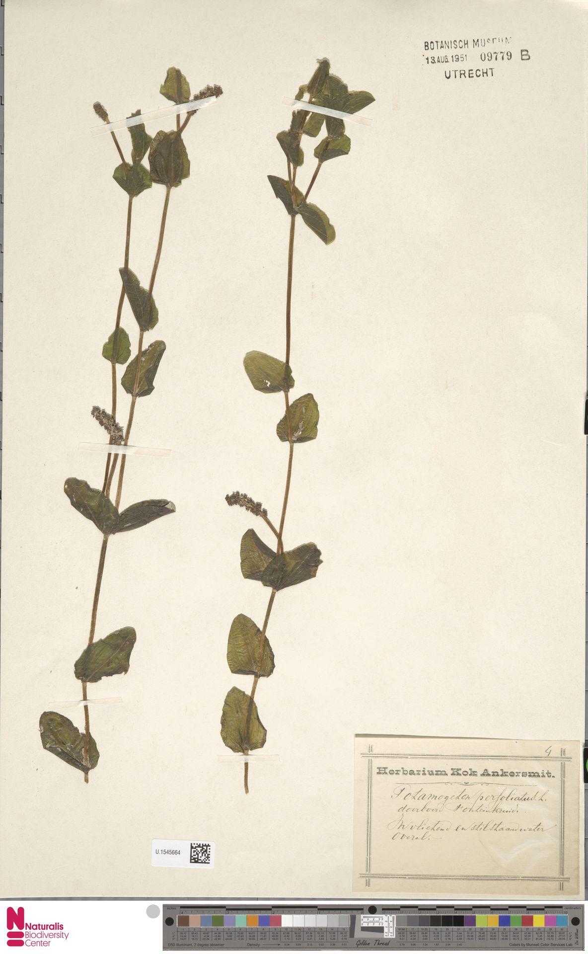 U.1545664 | Potamogeton perfoliatus L.
