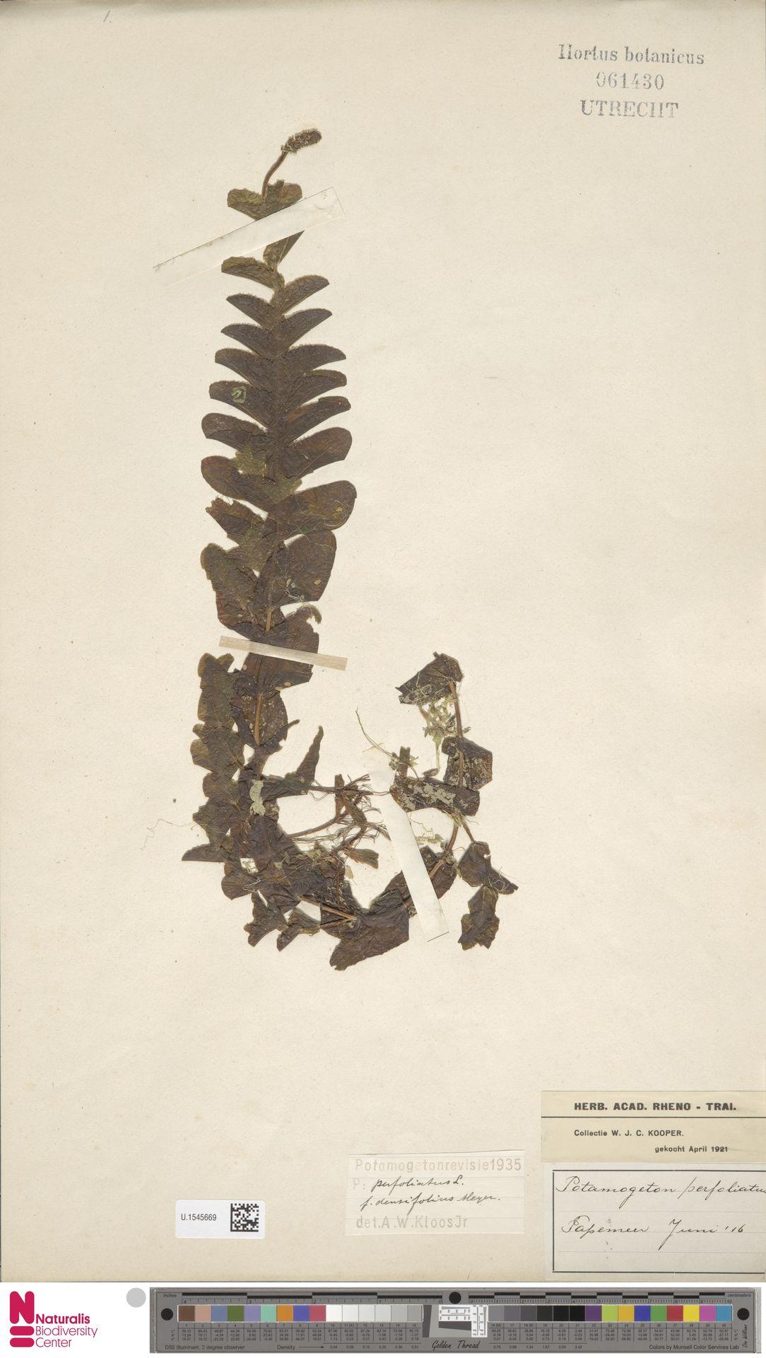 U.1545669 | Potamogeton perfoliatus L.