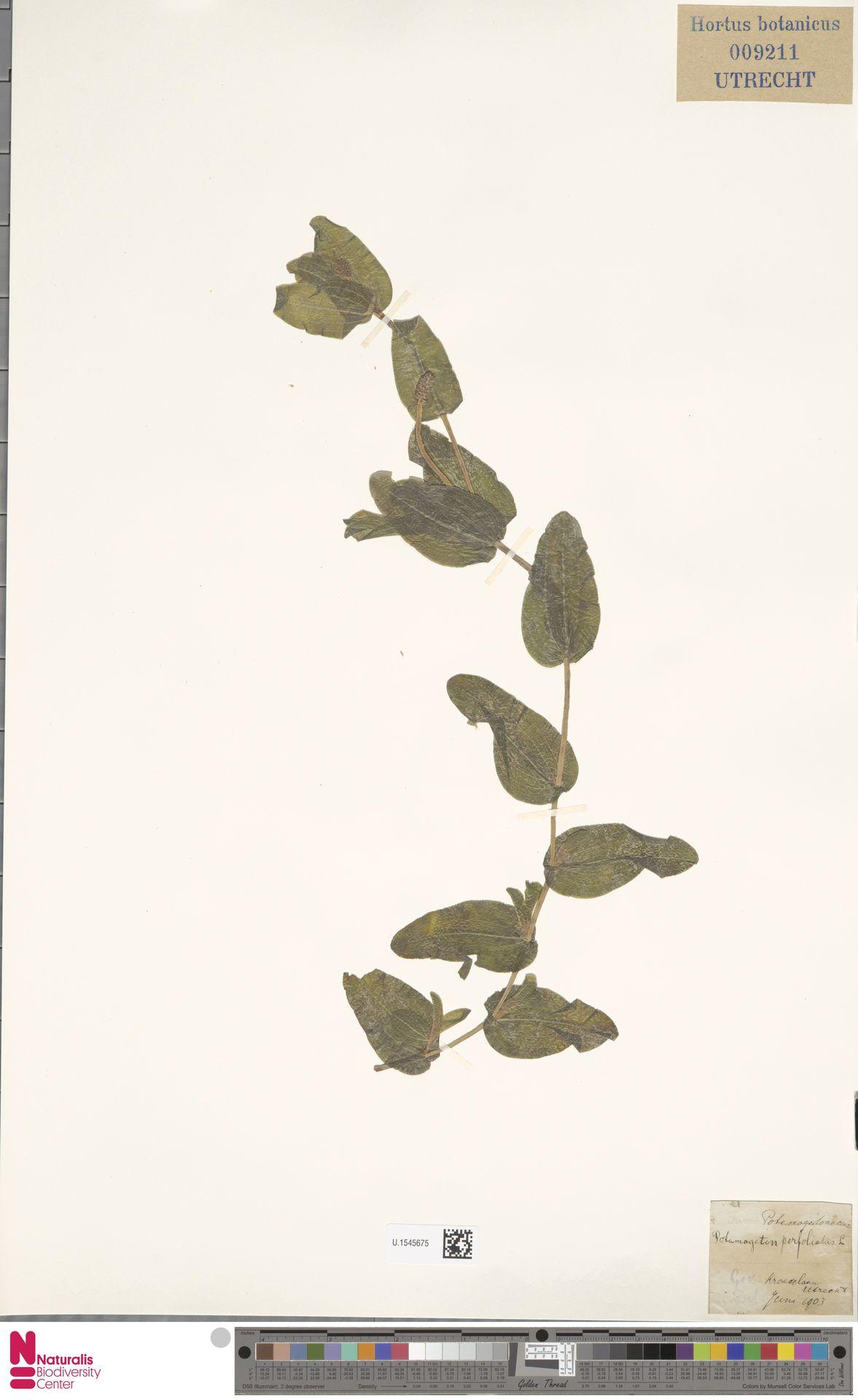 U.1545675 | Potamogeton perfoliatus L.