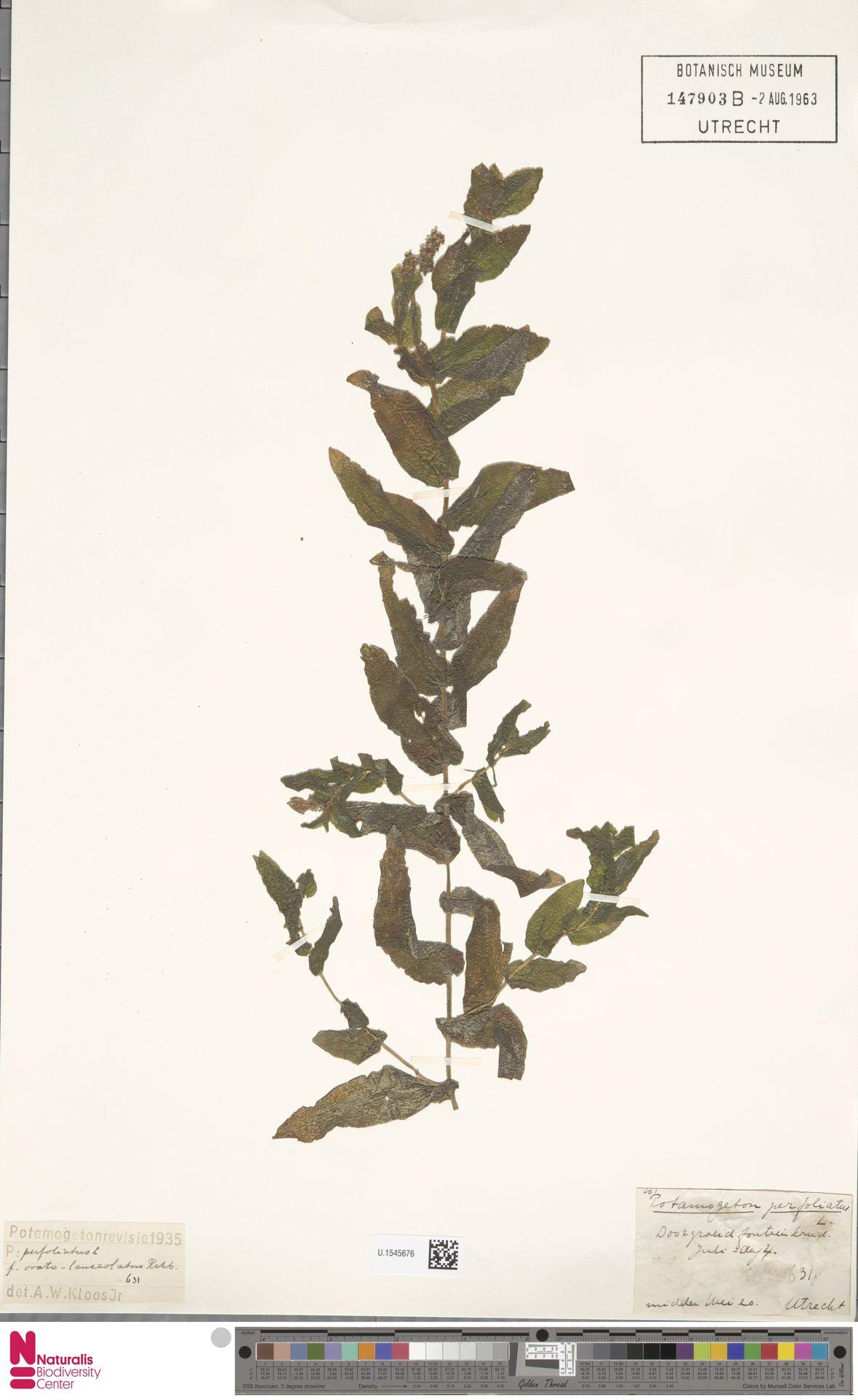 U.1545676 | Potamogeton perfoliatus L.